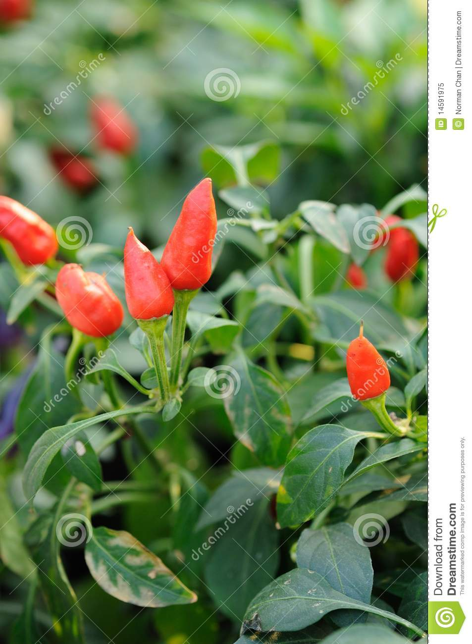 Chili Pepper Plant Royalty Free Stock Photo - Image: 14591975