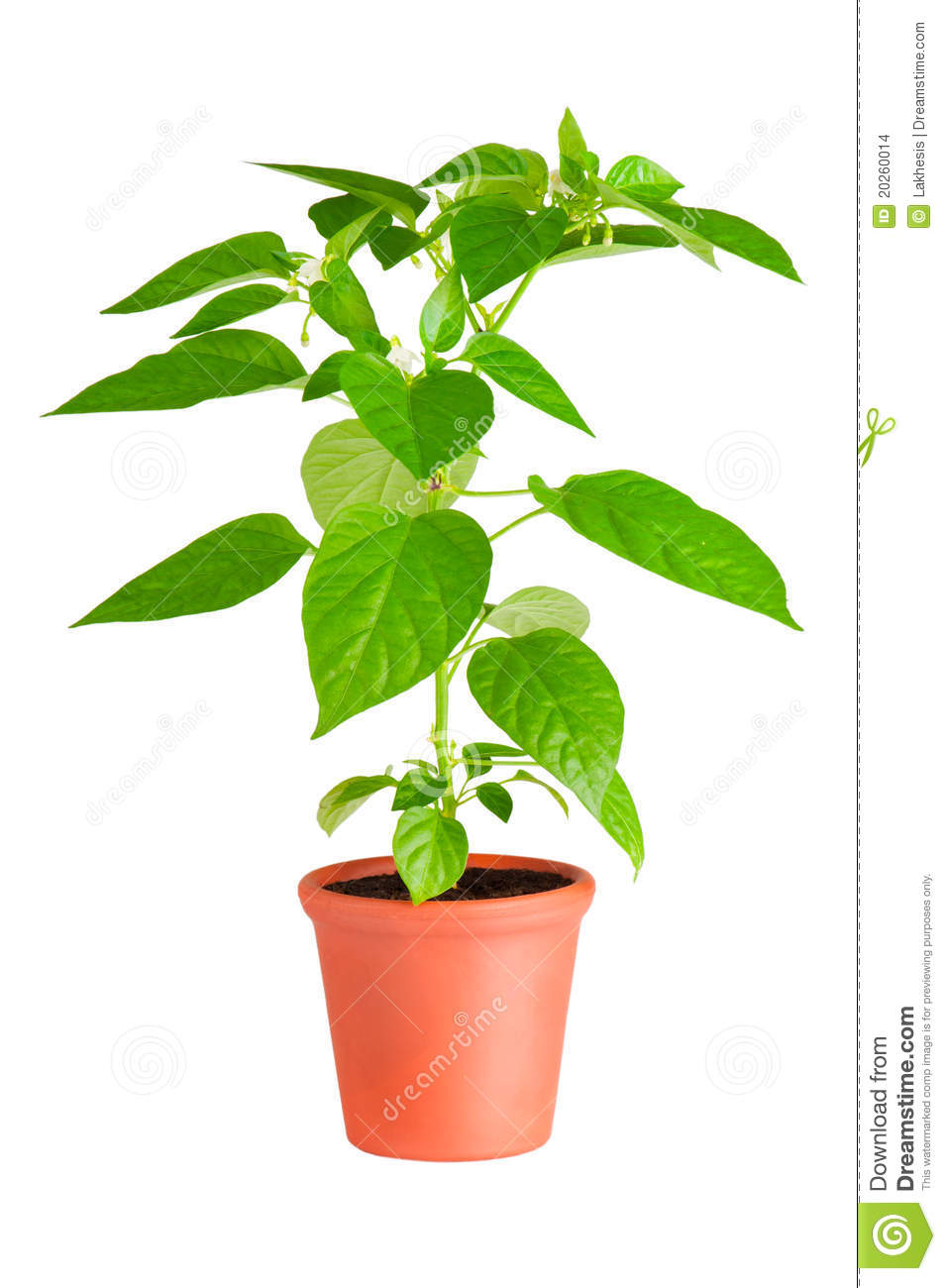 Chili Pepper Plant Stock Images Image 20260014