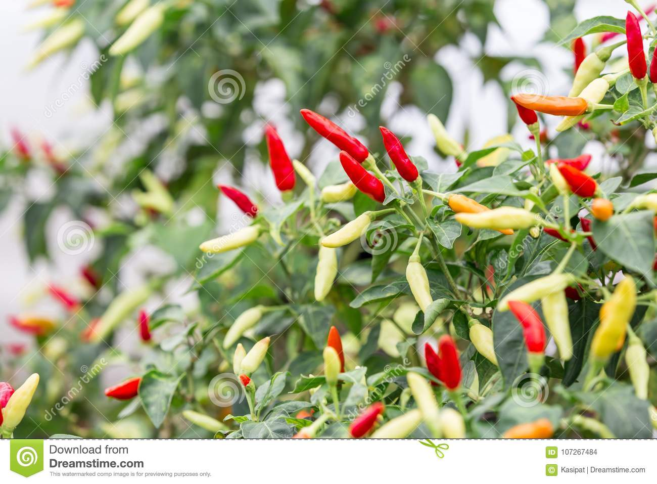 Chili Peppers Stock Photo Image Of Garden Farming 107267484