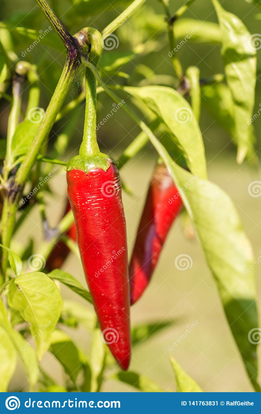 Chili peppers grow mature in their own garden