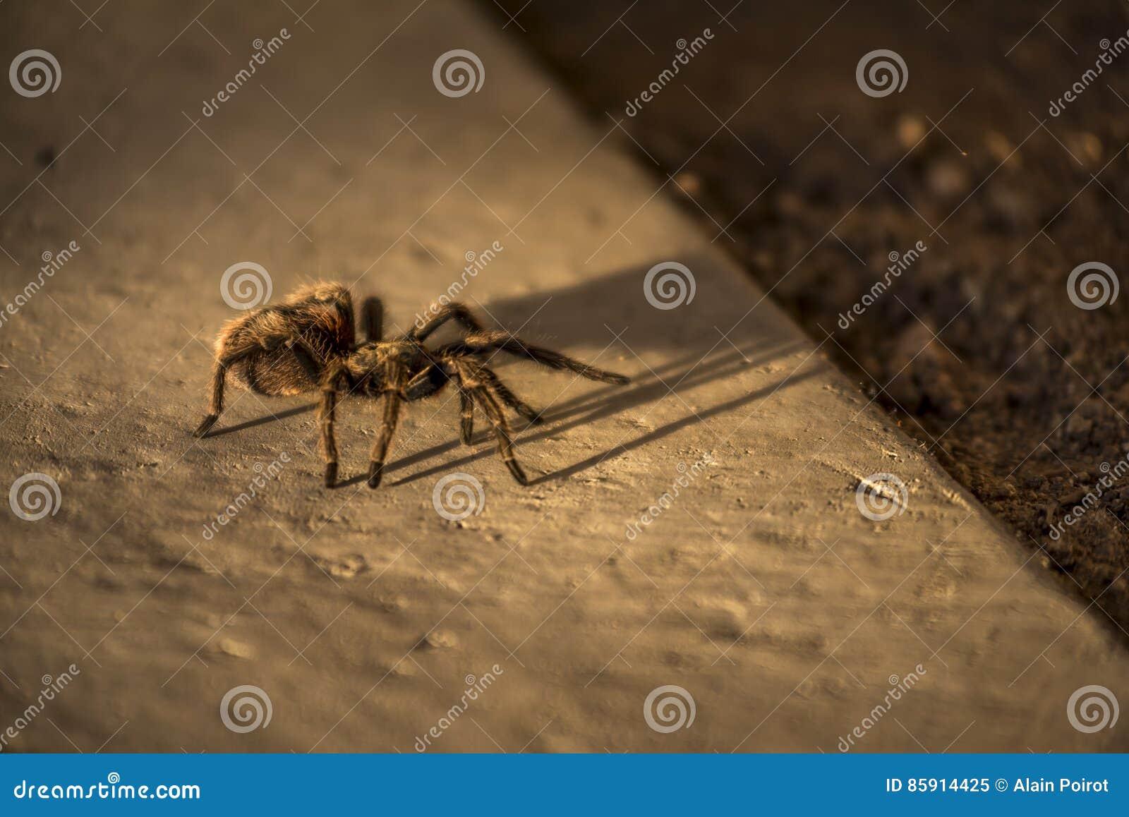 Chilijczyk tarantuli Różany pająk, Chile