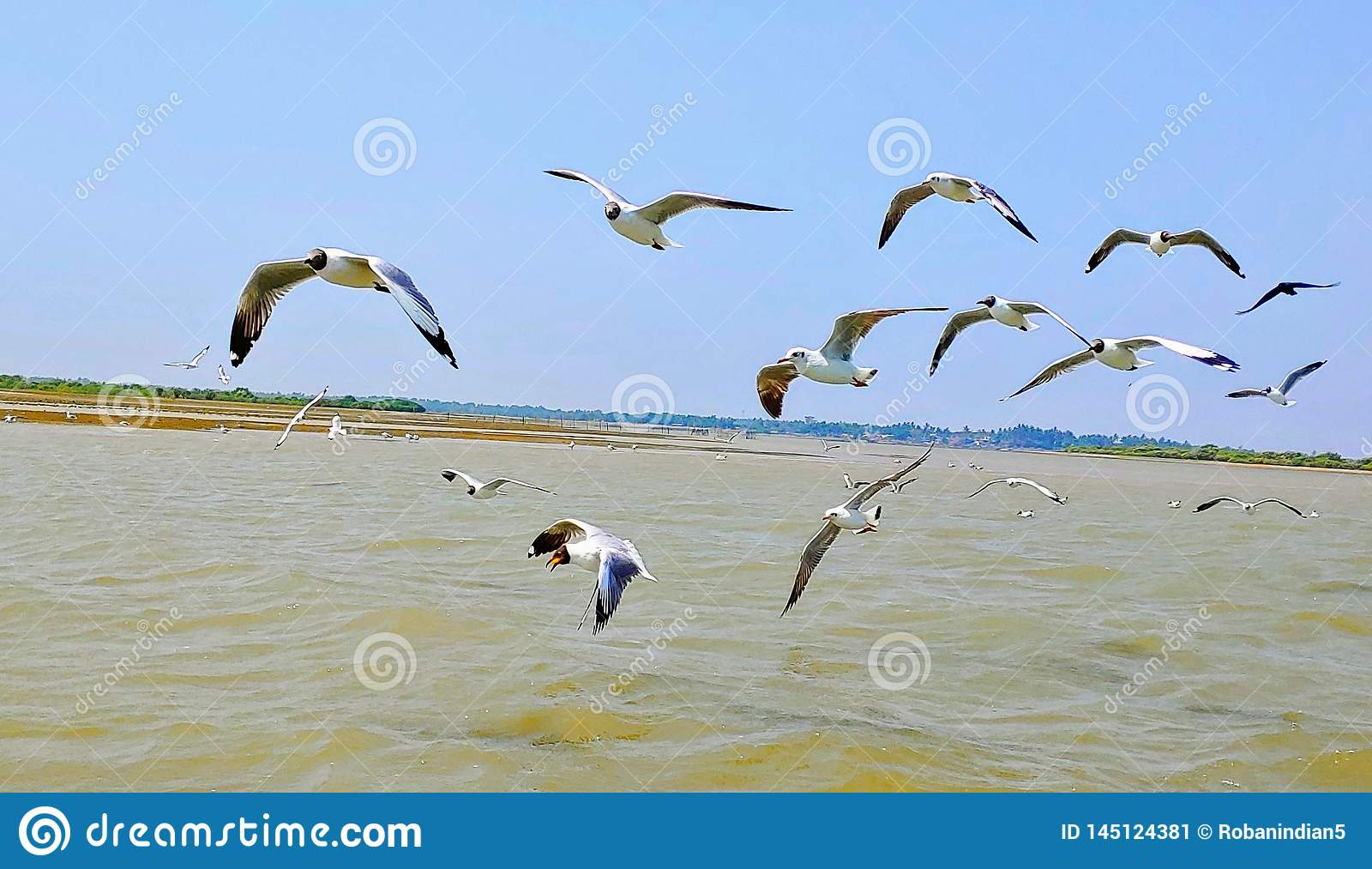 Seabulls At Chilika Lake Puri Odisha India Stock Image - Image of