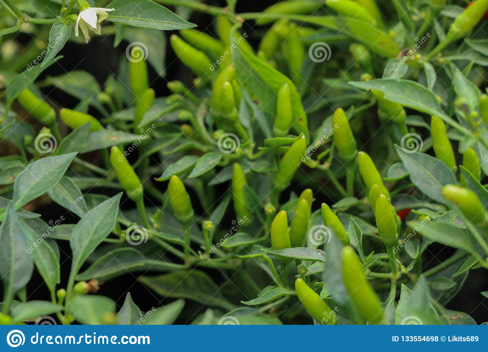 Chilli Pepper Tree At Garden In Thailand Stock Photo Image Of