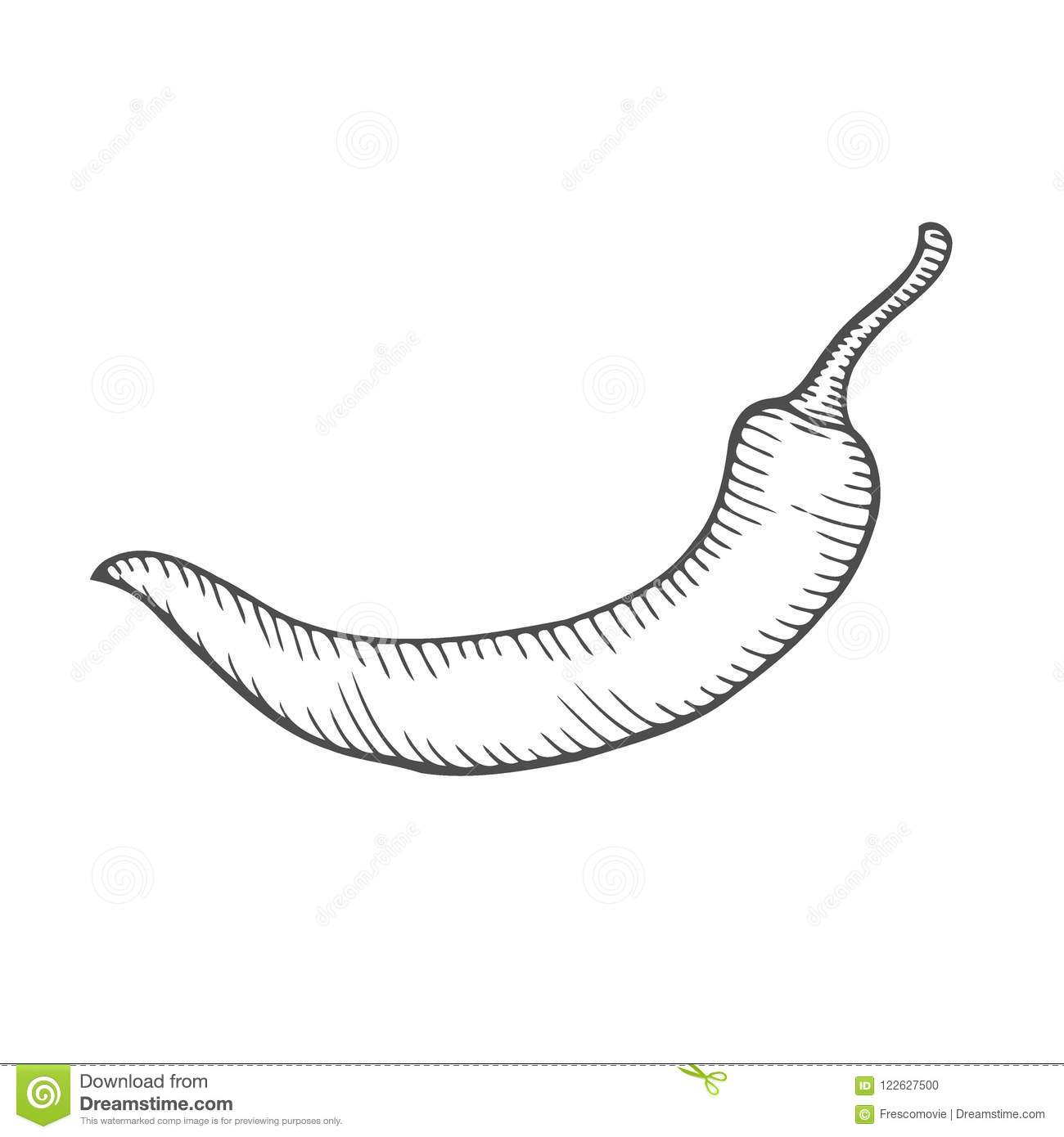 Chilly pepper Vector