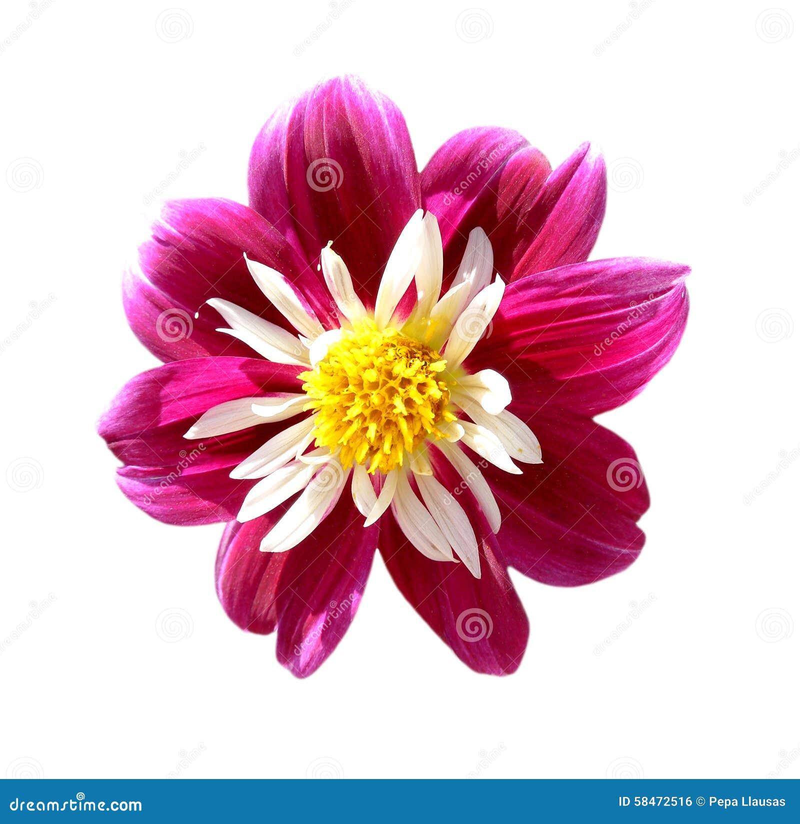 Chimborazo Dahlia August Flower Stock Image