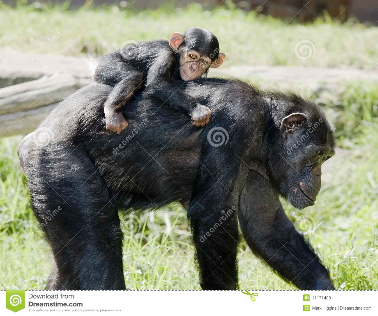 Chimp Mother With Baby On Back Stock Photo Image Of