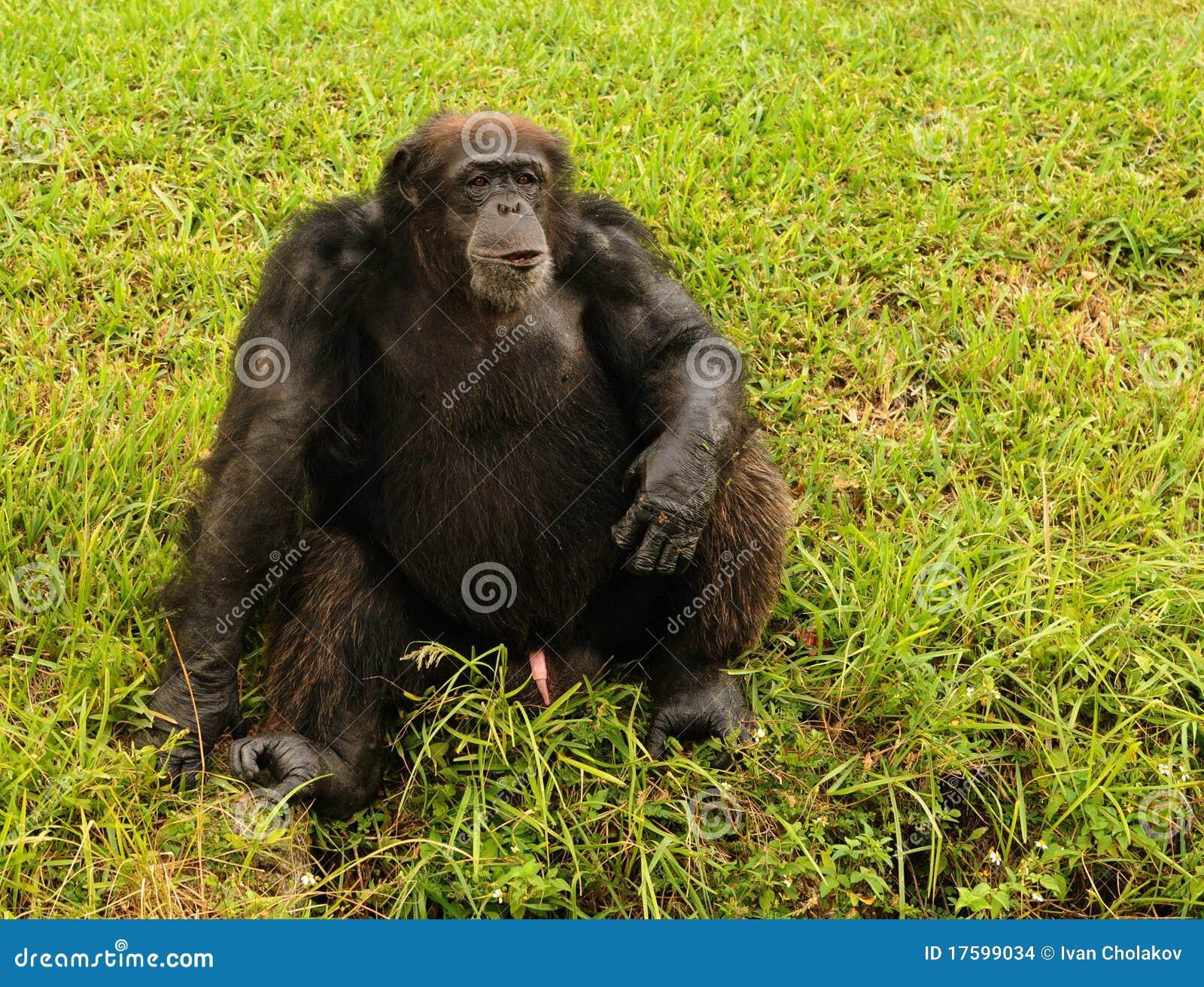 Sitting Chimp Royalty Free Stock Photo - Image: 32035435  |Chimp Sitting