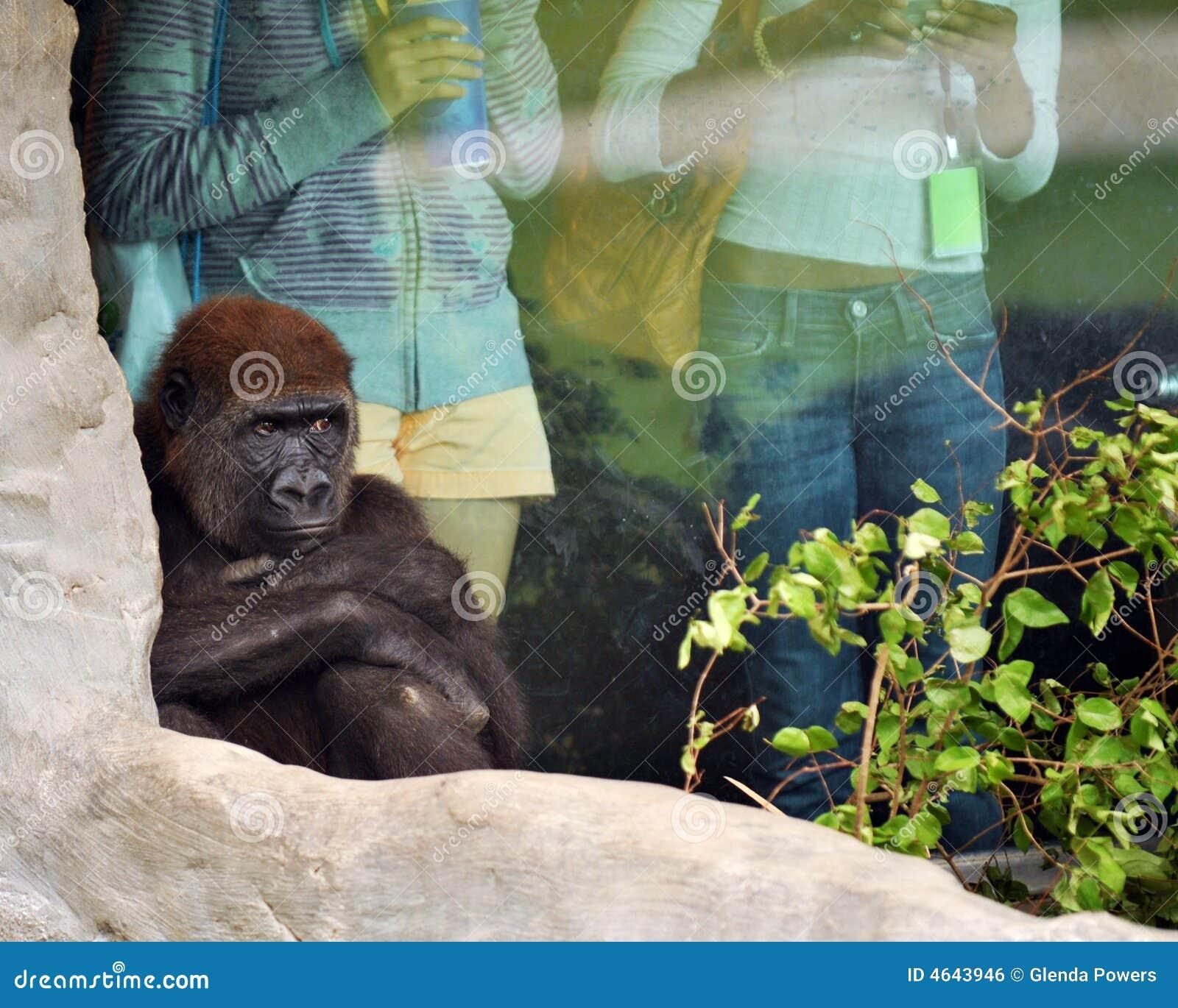 Chimpanzé amuando