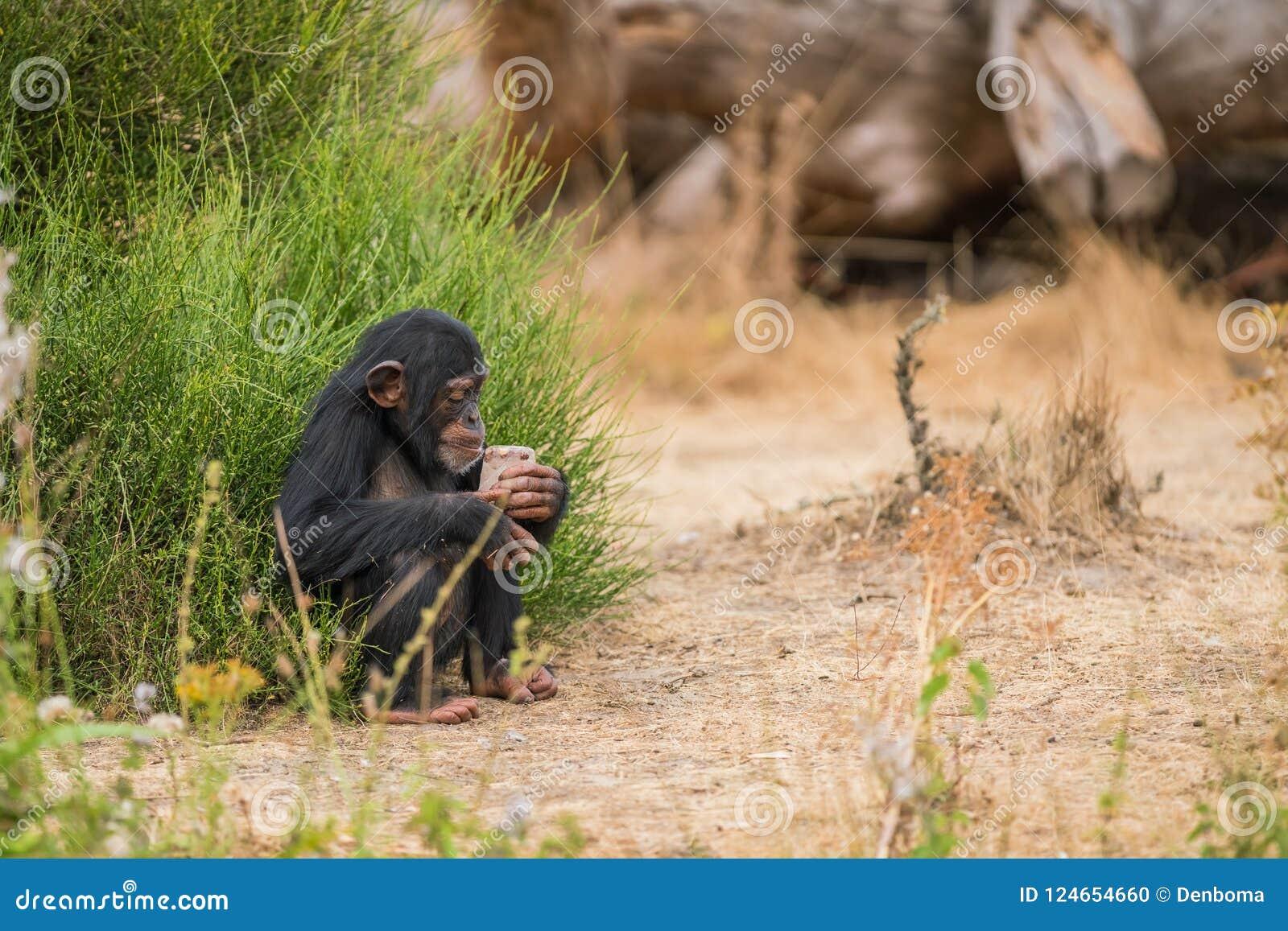 Chimpanzé comum com gelo