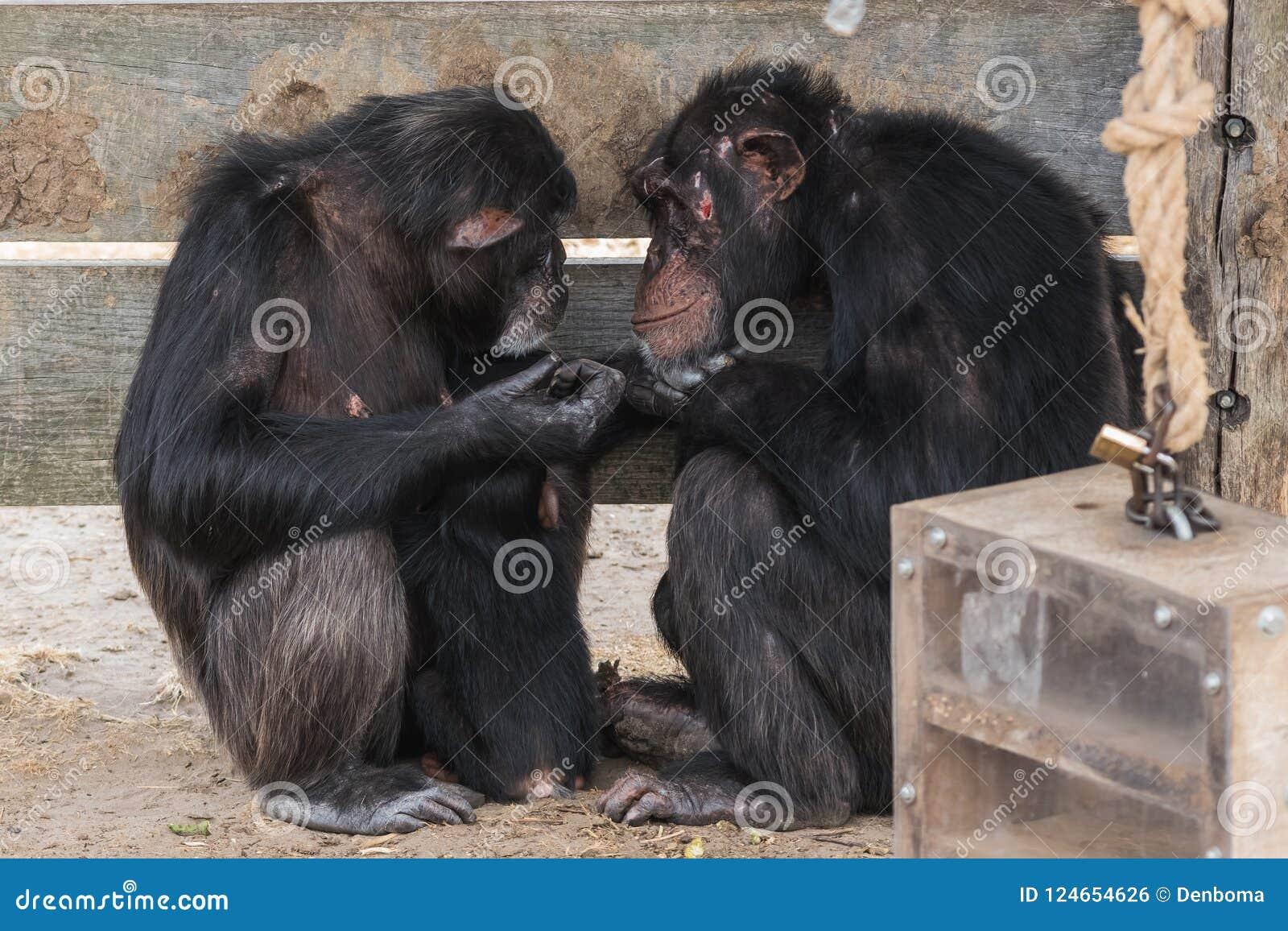 Chimpanzé comum com um chimpanzé do bebê e velho