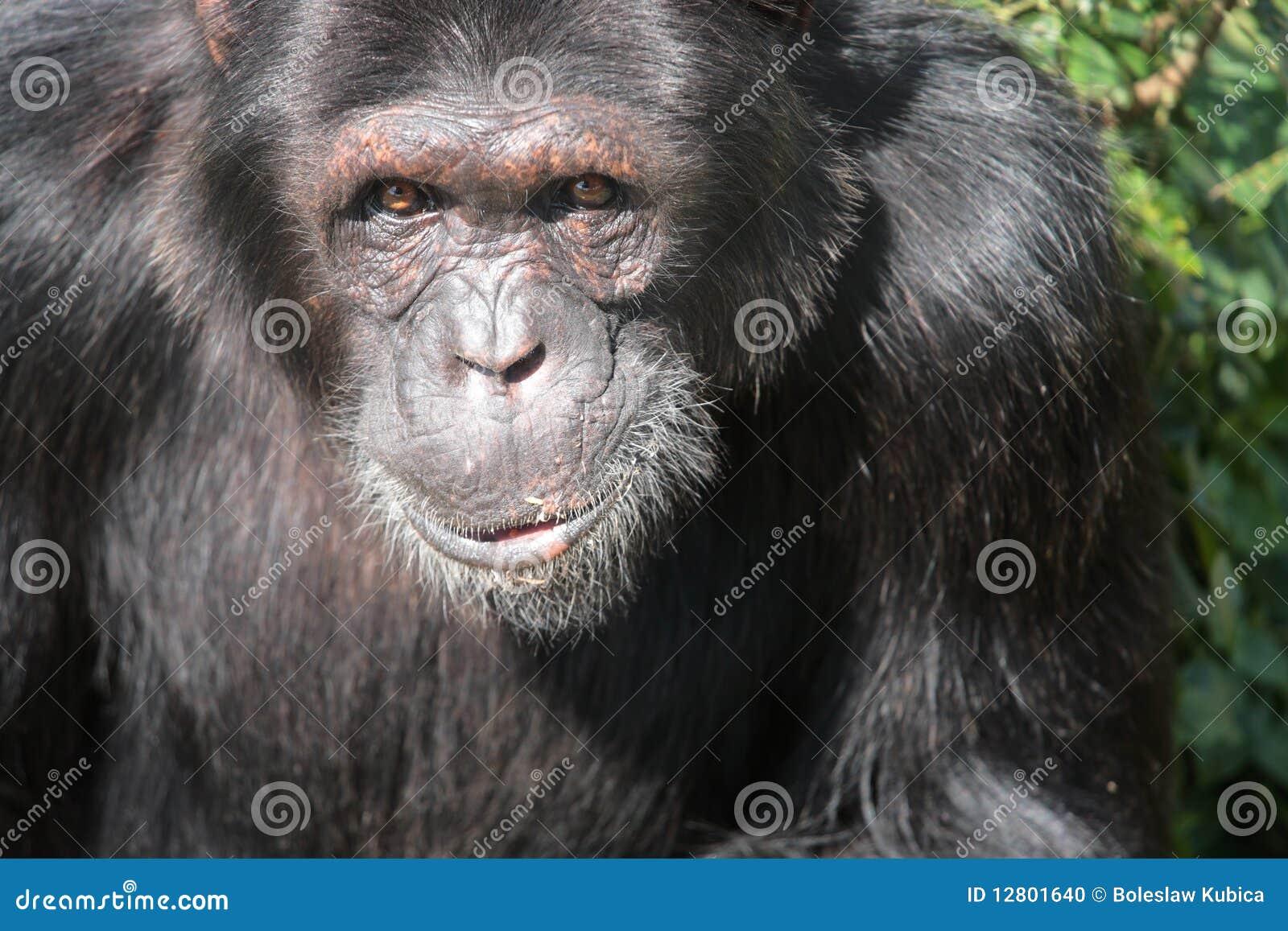 Chimpanzé preto