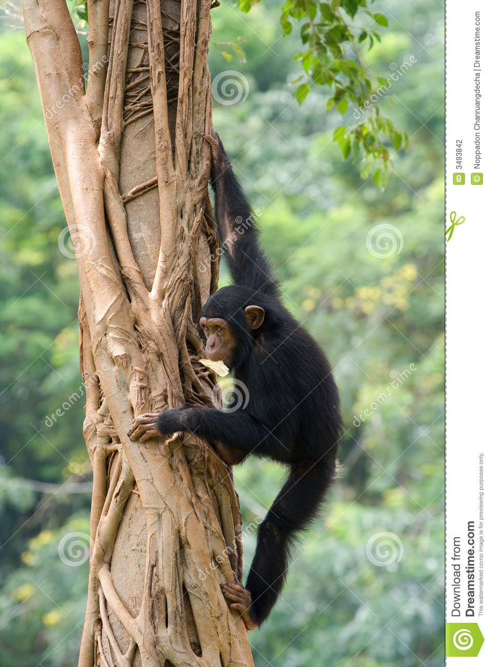 Chimpanzee Stock Photography - Image: 3493842