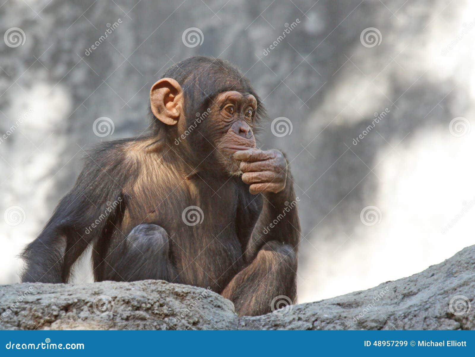 Chimpanzee (Pan Troglodytes) Sitting Stock Photography ...  |Chimp Sitting