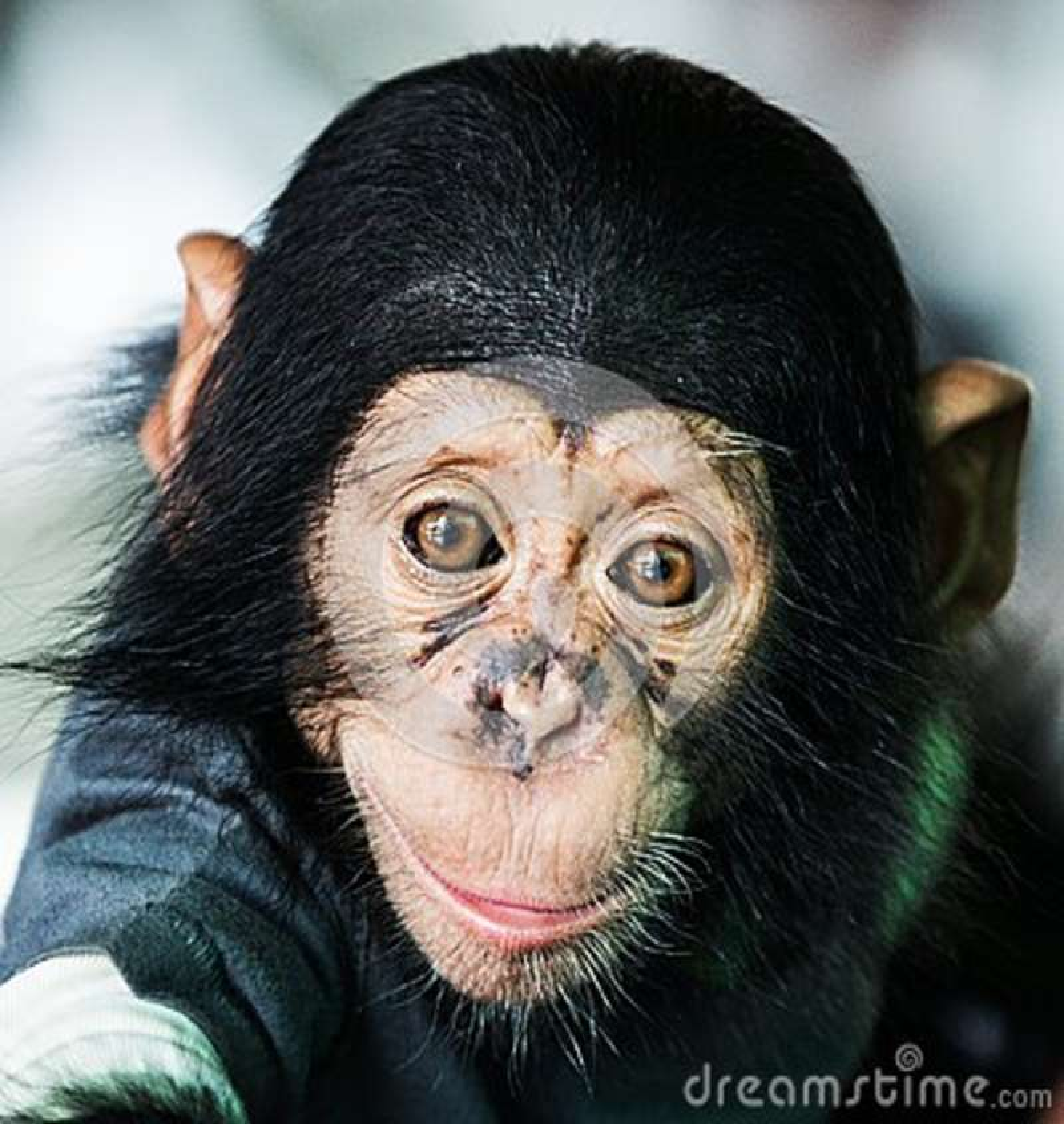 Chimpanzee Baby Stock Image - Image: 38162711