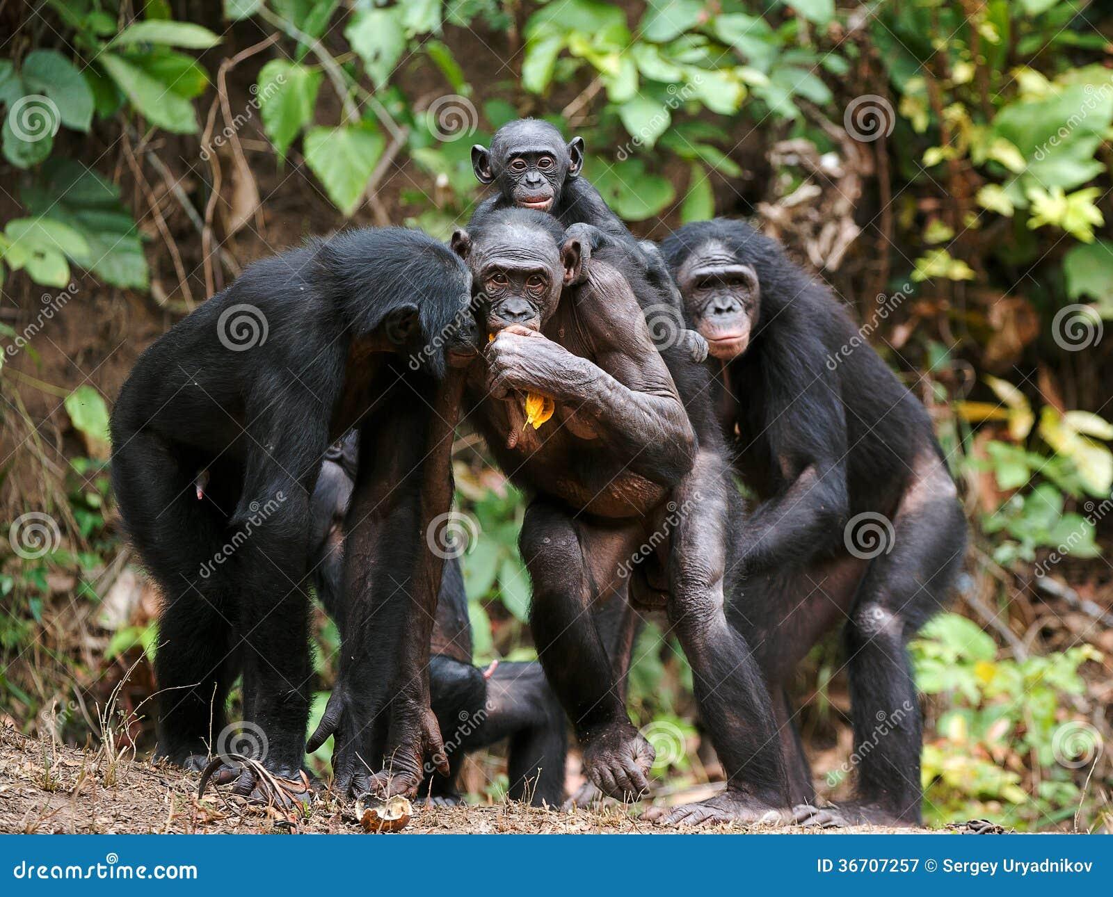 Секс с шимпанзе фото 7 фотография