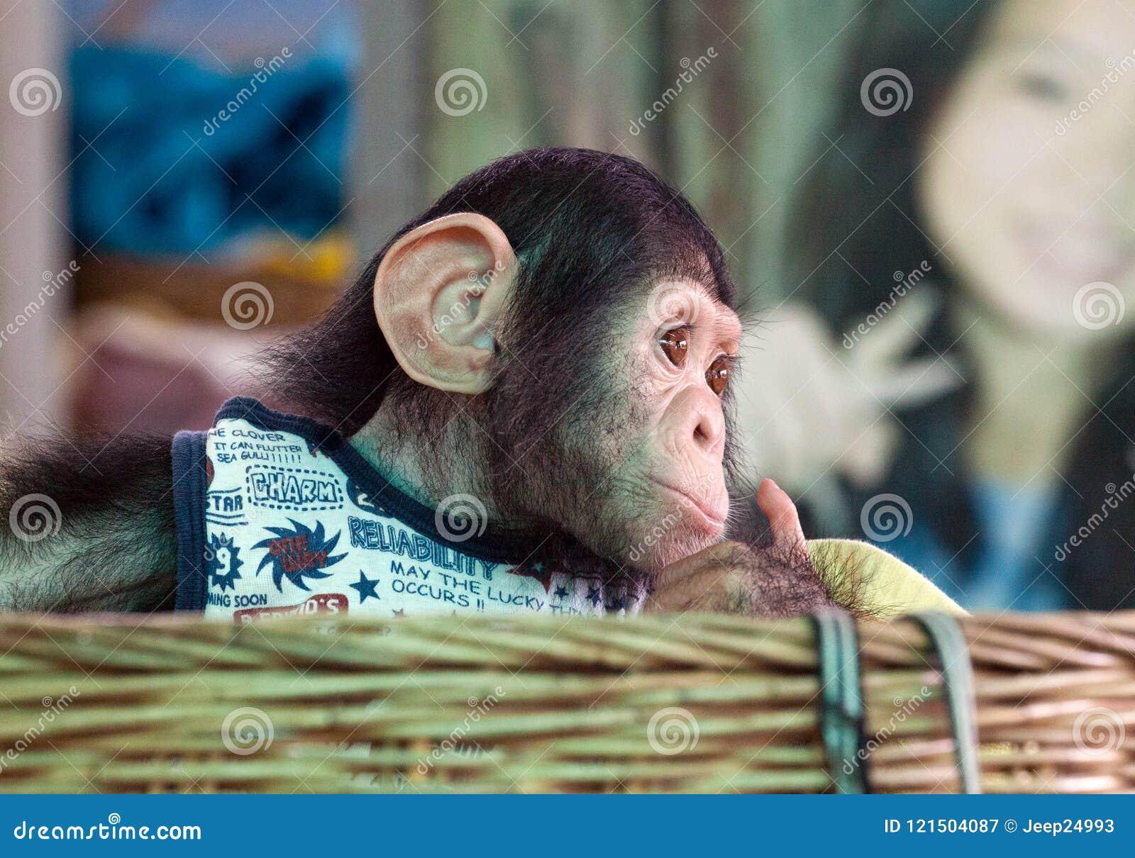 Chimpanzee cute is looking.
