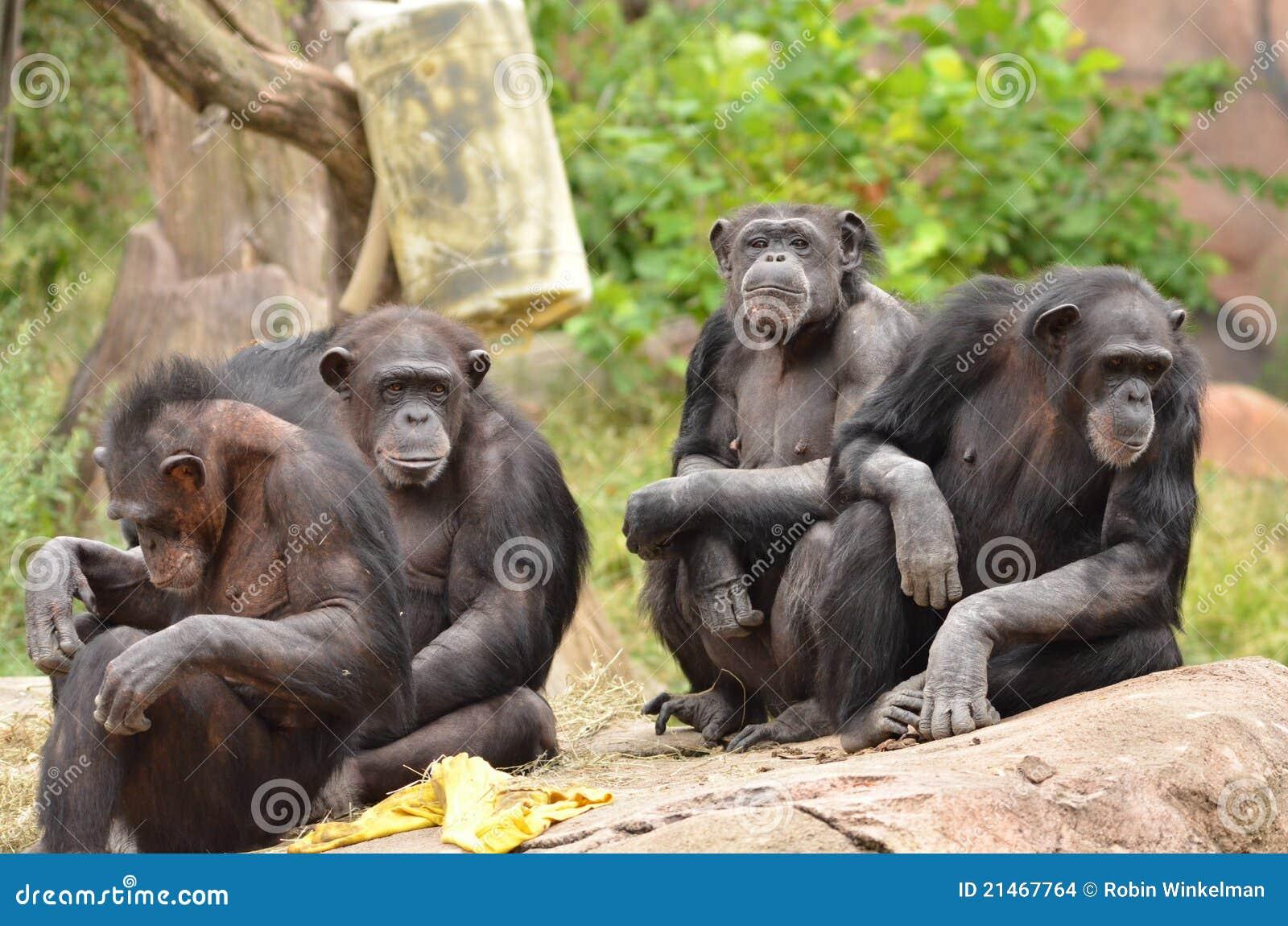 Chimpanzee group