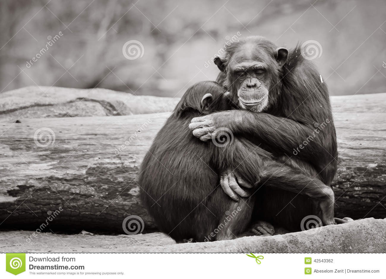 Chimpanzee Hug