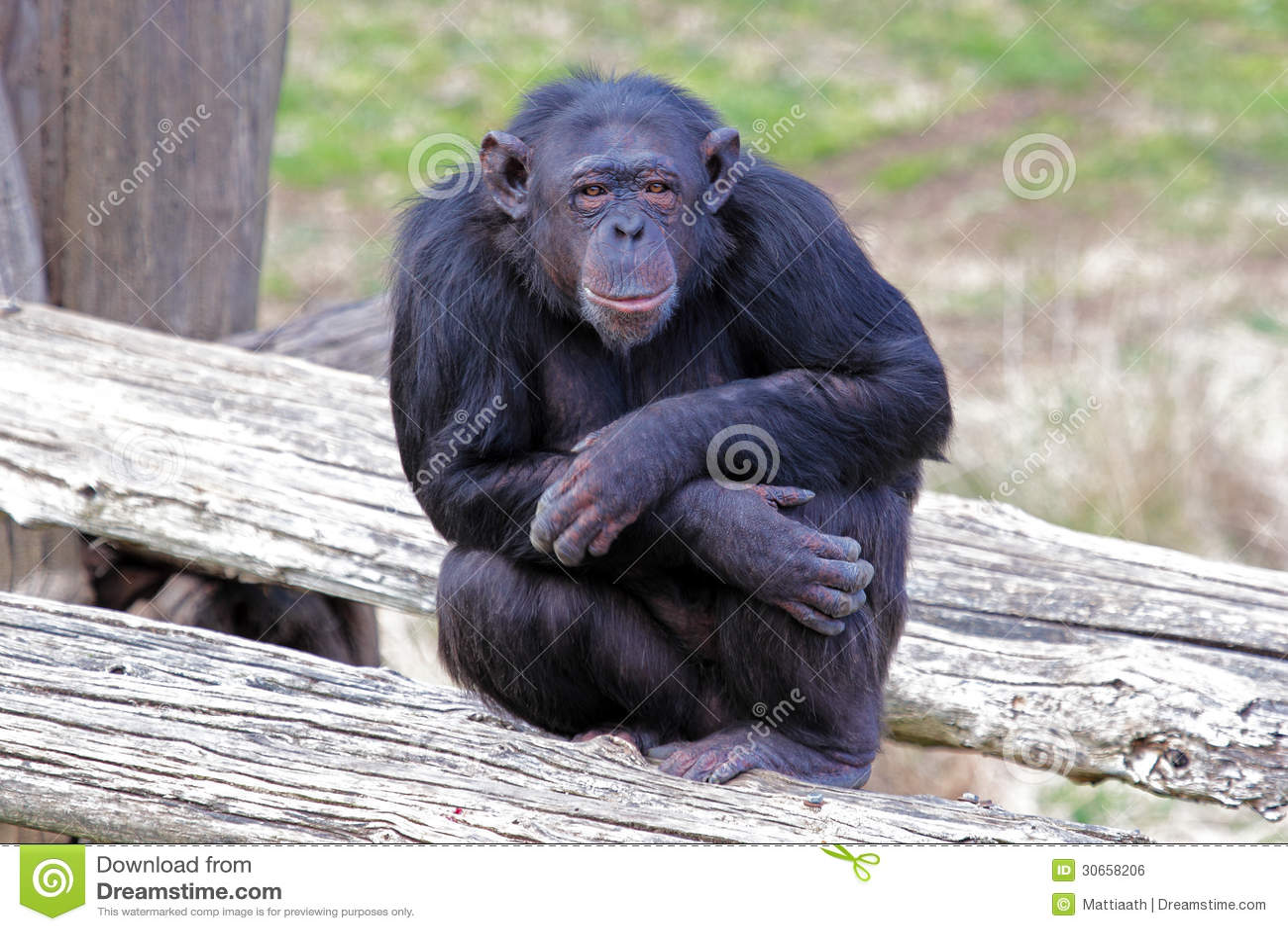 Silhouette Sitting Chimp Front Stock Vector - Illustration ...  |Chimp Sitting