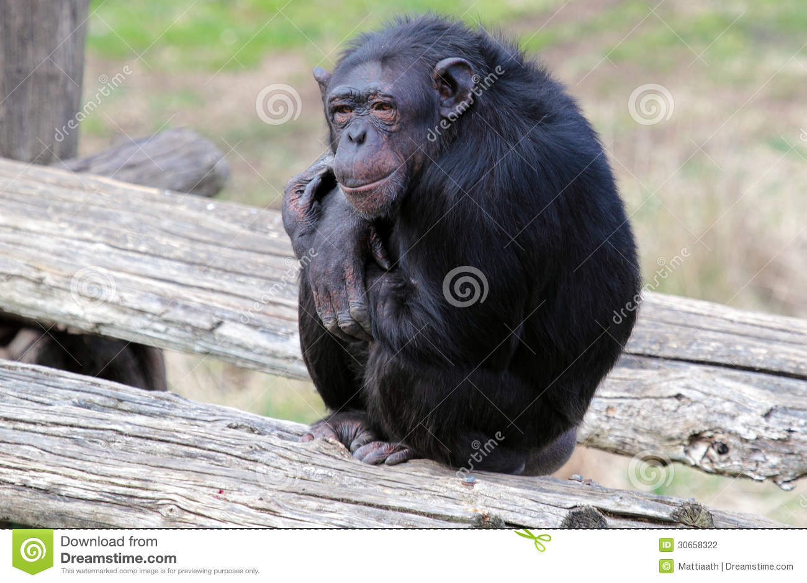 Chimp Sitting On Grass Stock Images - Image: 17599034  |Chimp Sitting