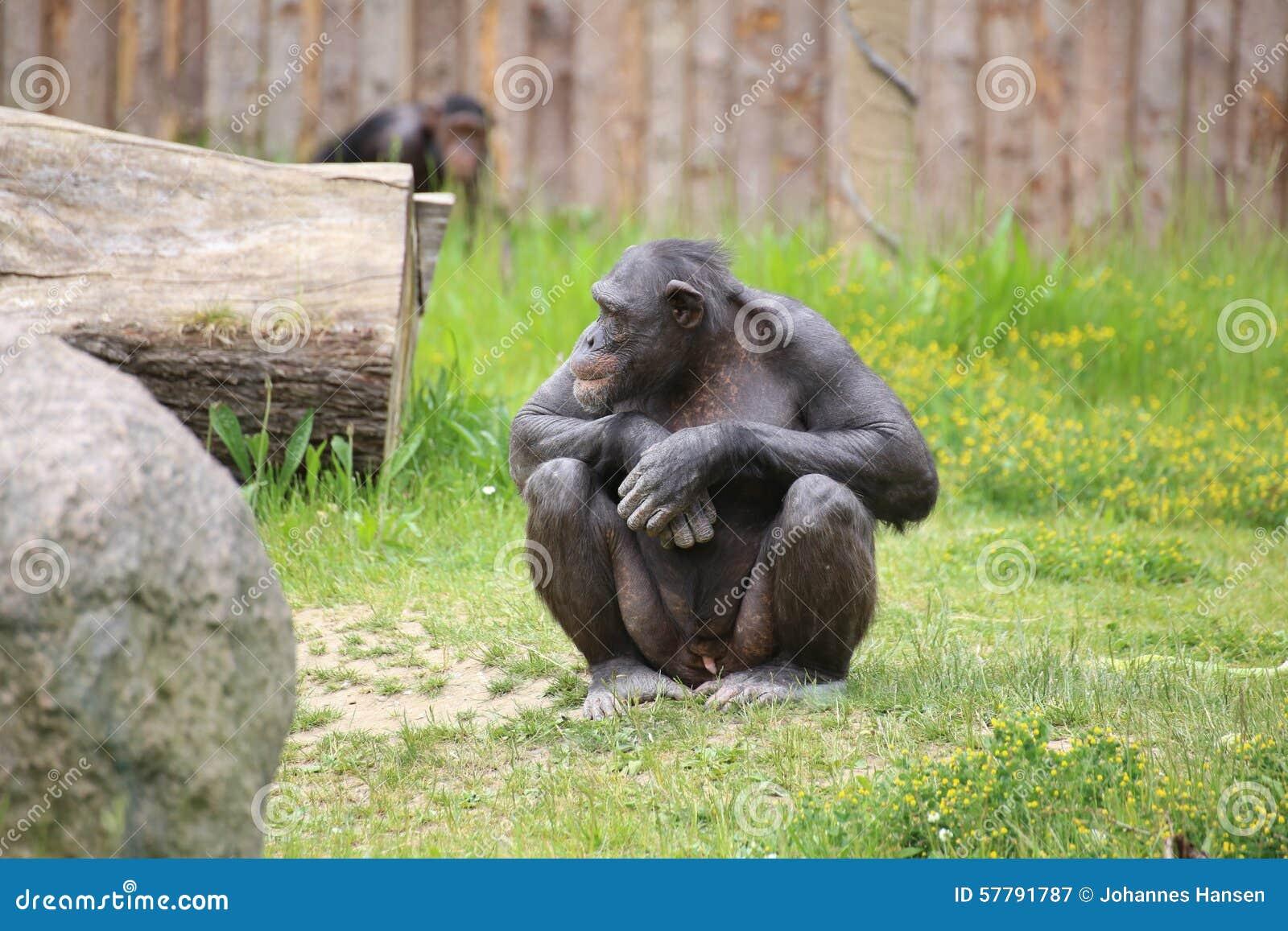 Chimp Images - Photos - Pictures  |Chimp Sitting