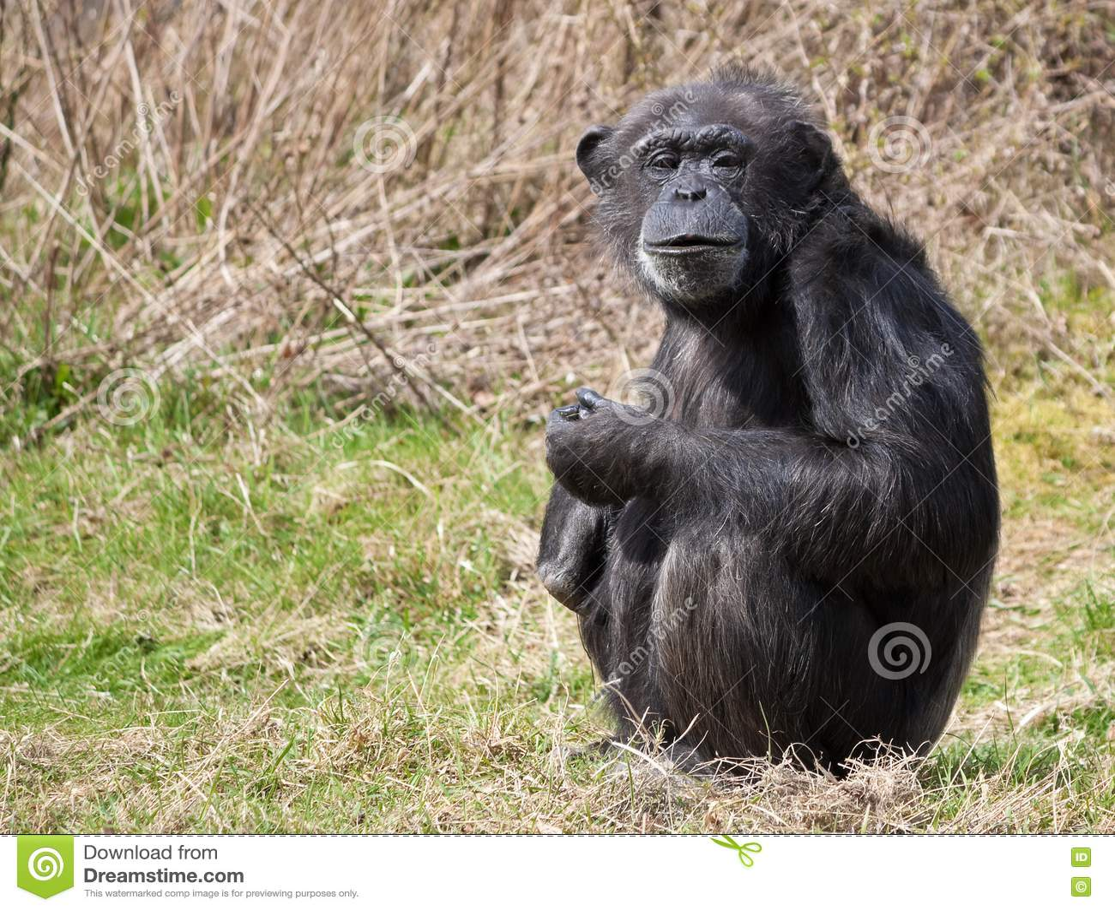 chimp chimpanzee sitting freetoedit...  |Chimp Sitting