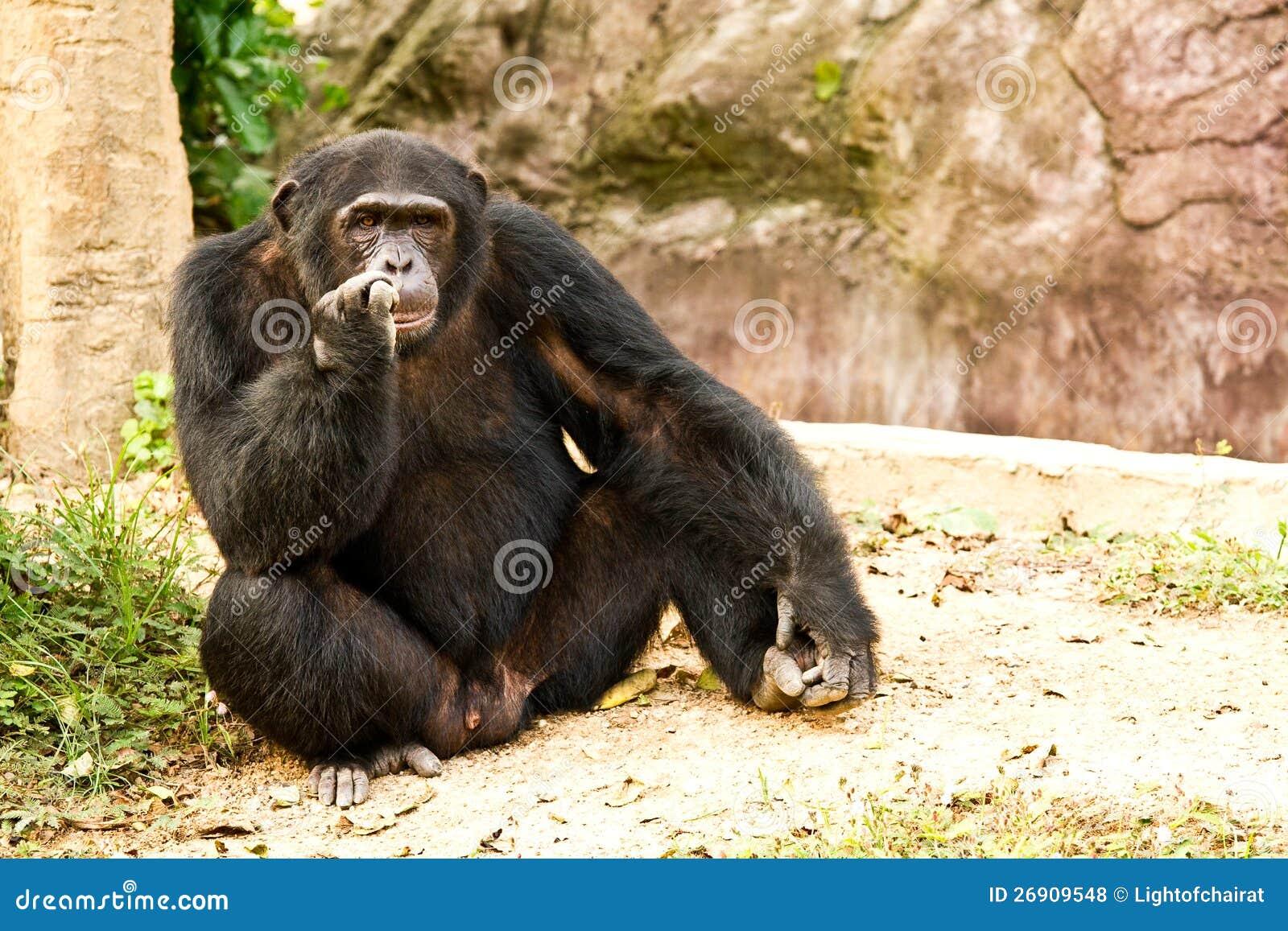 Chimpanzee Sitting By Some Bushes Royalty Free Stock Image ...  |Chimp Sitting