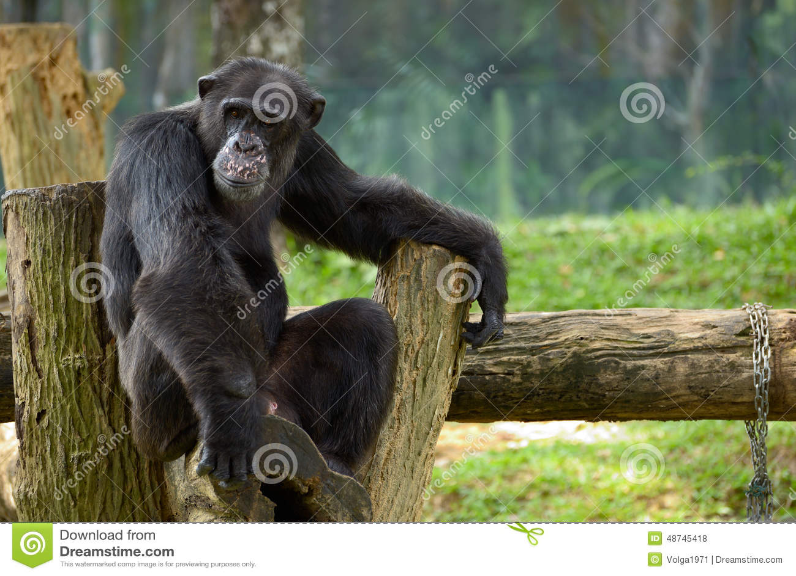Chimpanzee sitting at Kansas City Zoo | Ridpath Creative  |Chimp Sitting