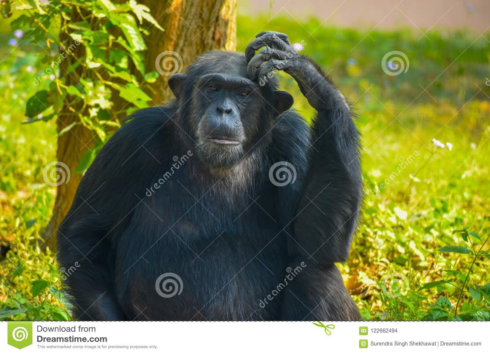 Chimpanzee sitting and thinking about something