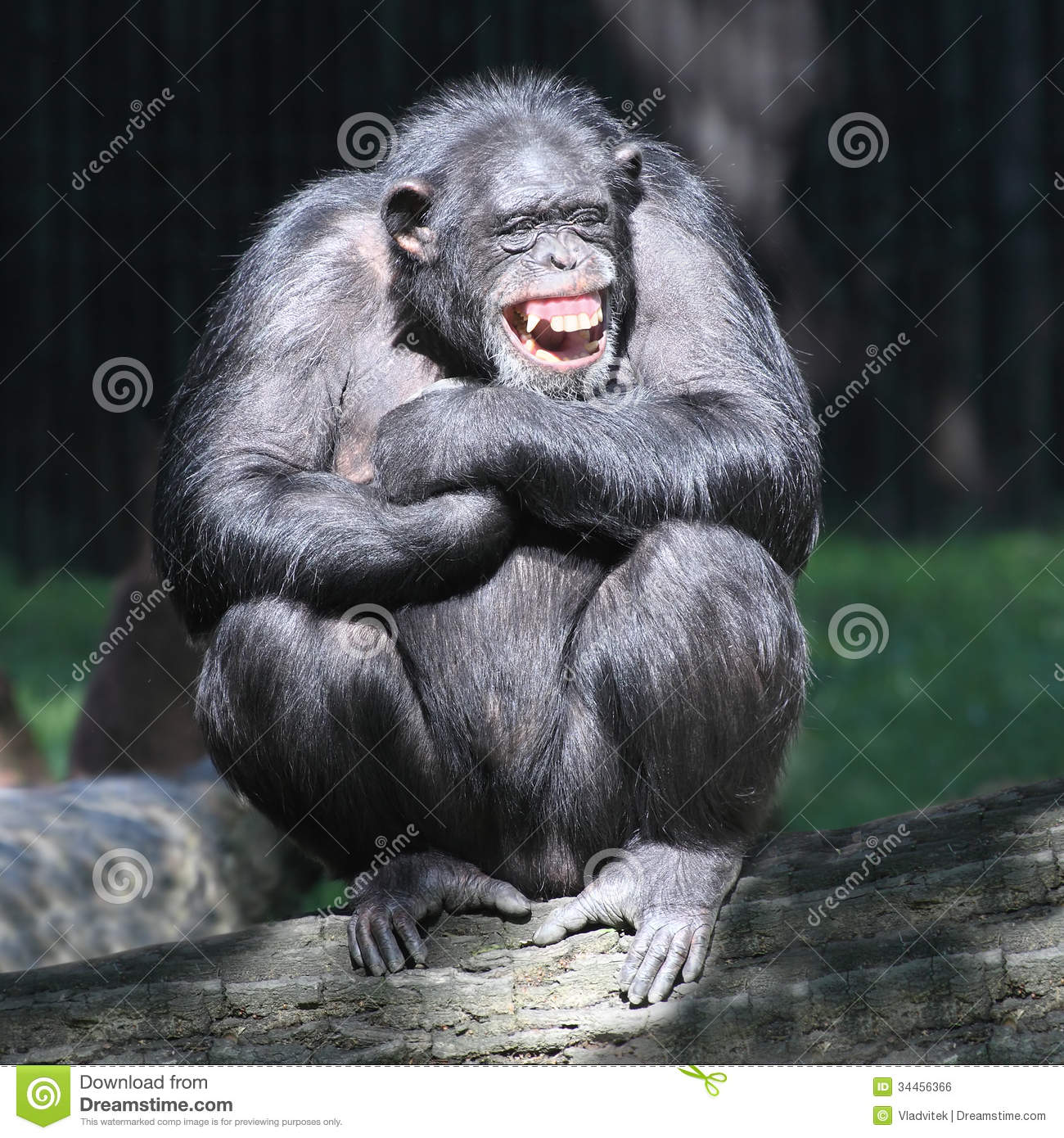 The Chimpanzee. Royalty Free Stock Image - Image: 34456366
