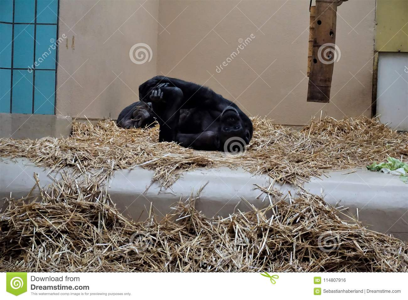 Chimpanzee stretching in the straw looking funny