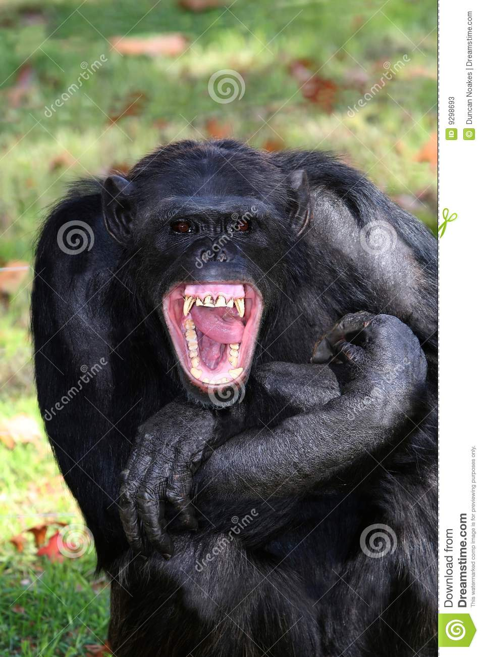 Black chimpanzee with mouth wide open showing teeth and tongue.