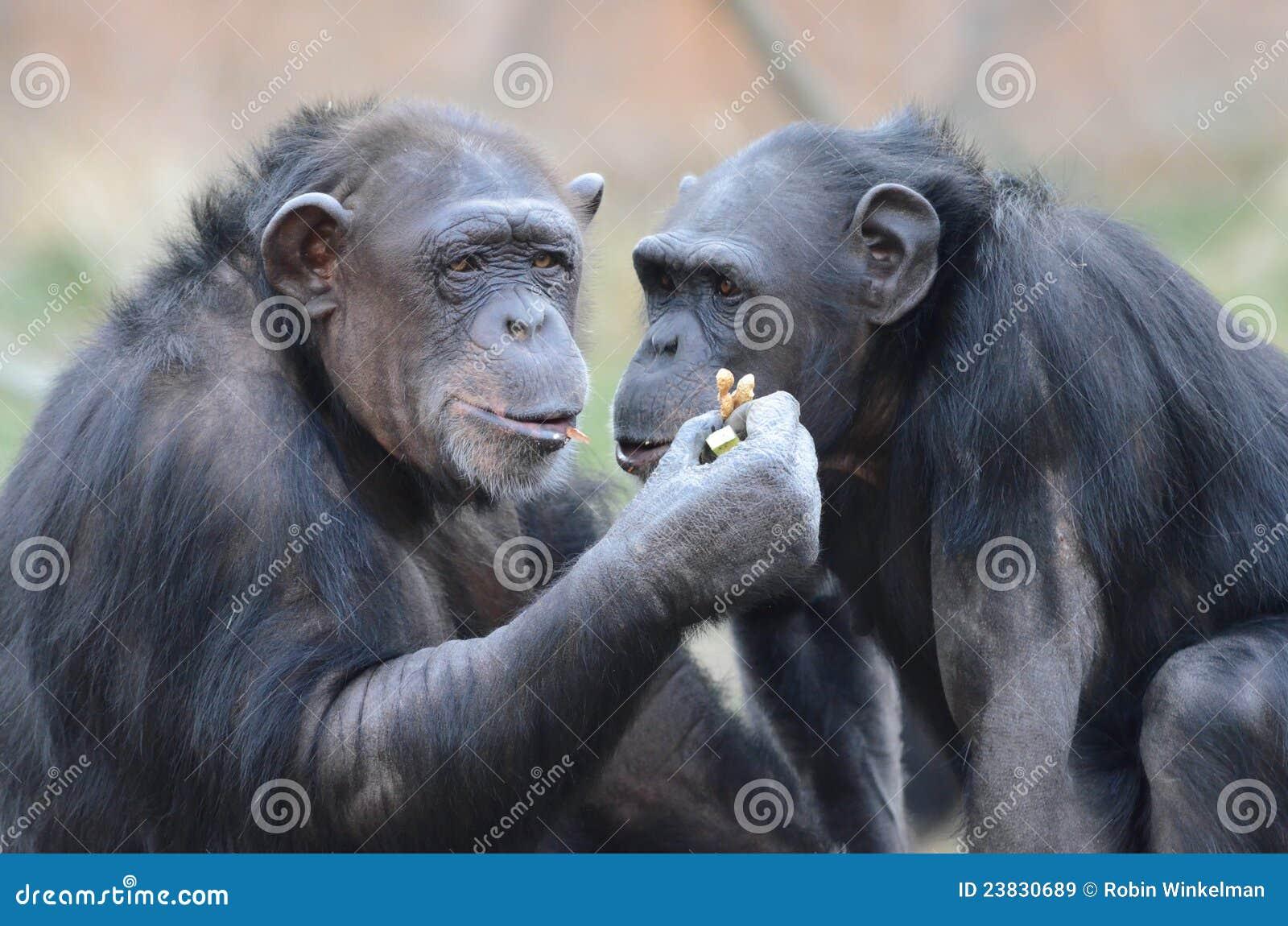 Chimps eating peanuts2