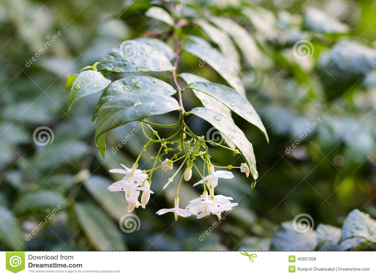China Box Tree Stock Image Image Of Drop Small Green 40907209