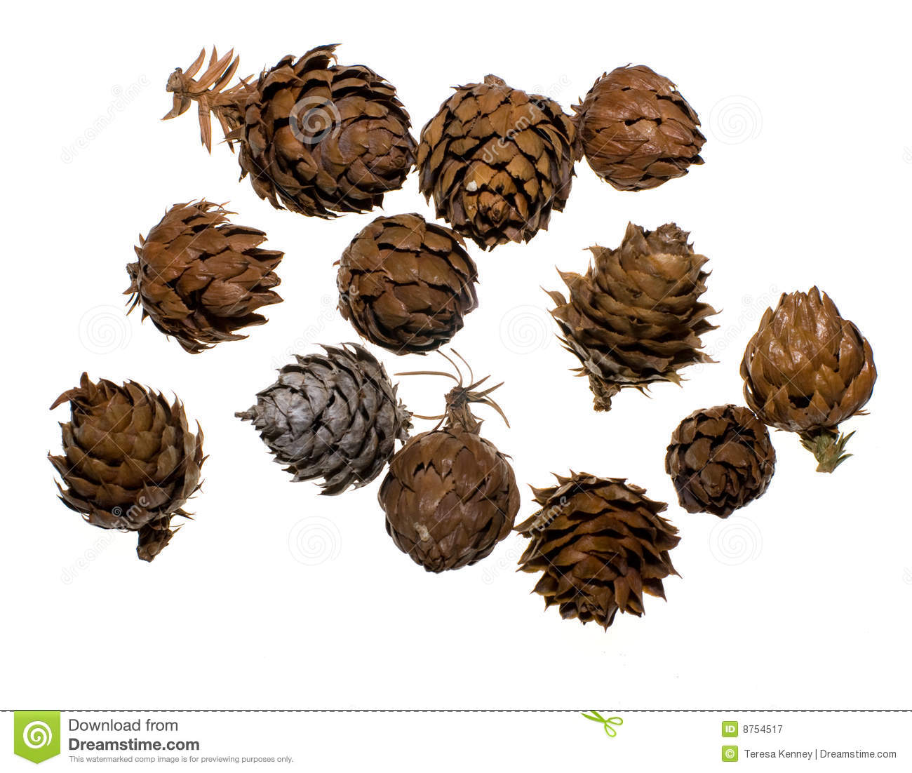 China Fir Tree Cones Stock Image. Image Of Large, Sizes