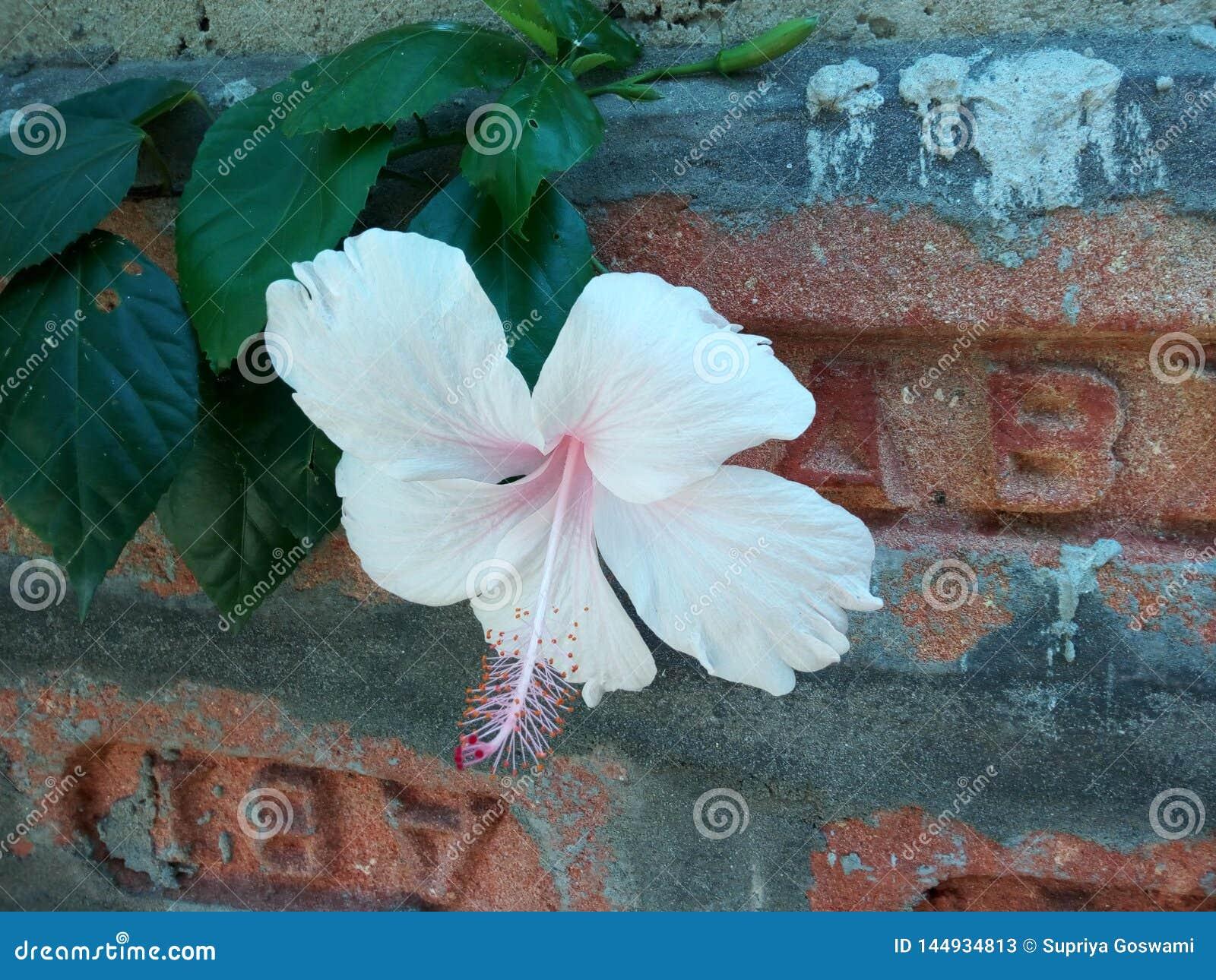 China india de la flor del jaba del pinchazo subió, cerca de la pared de ladrillo