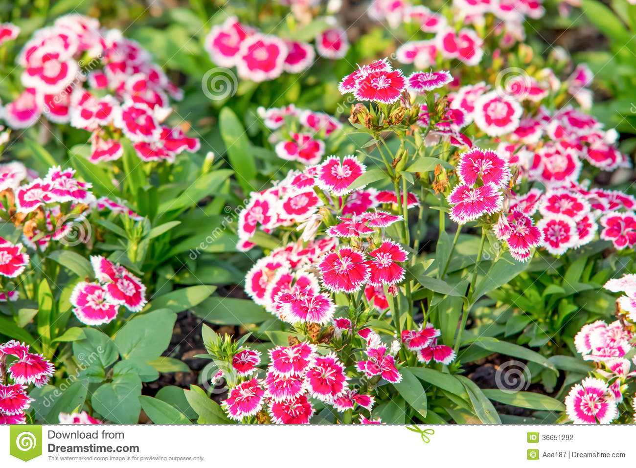 China Pink Dianthus Chinensis L Flower Stock Photo Image Of
