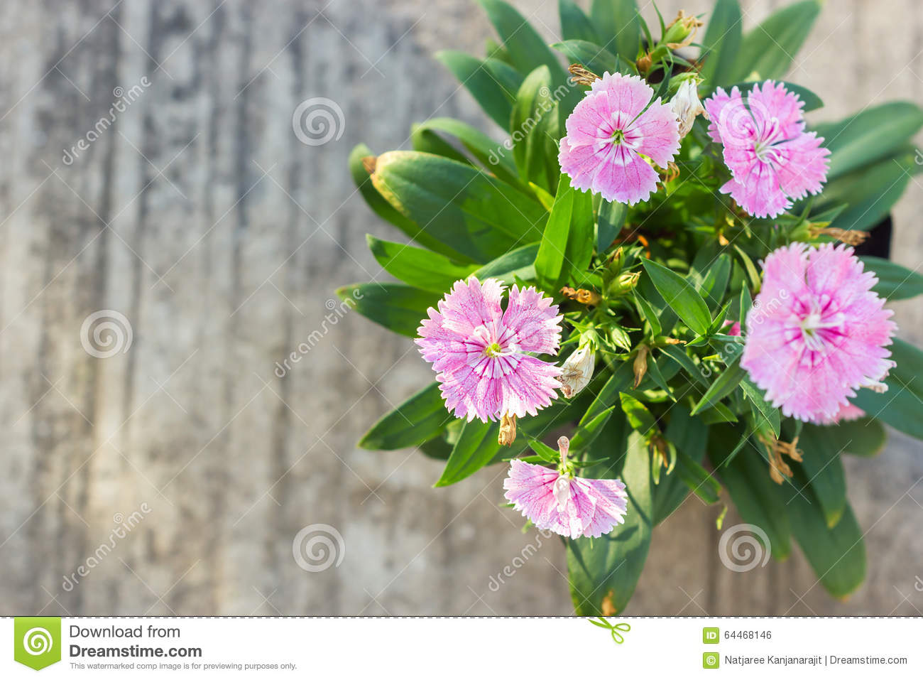 China Pink Indian Pink Flower Stock Photo Image Of Colorful