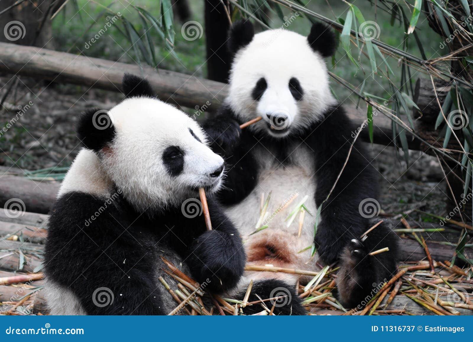 China-riesiger Panda