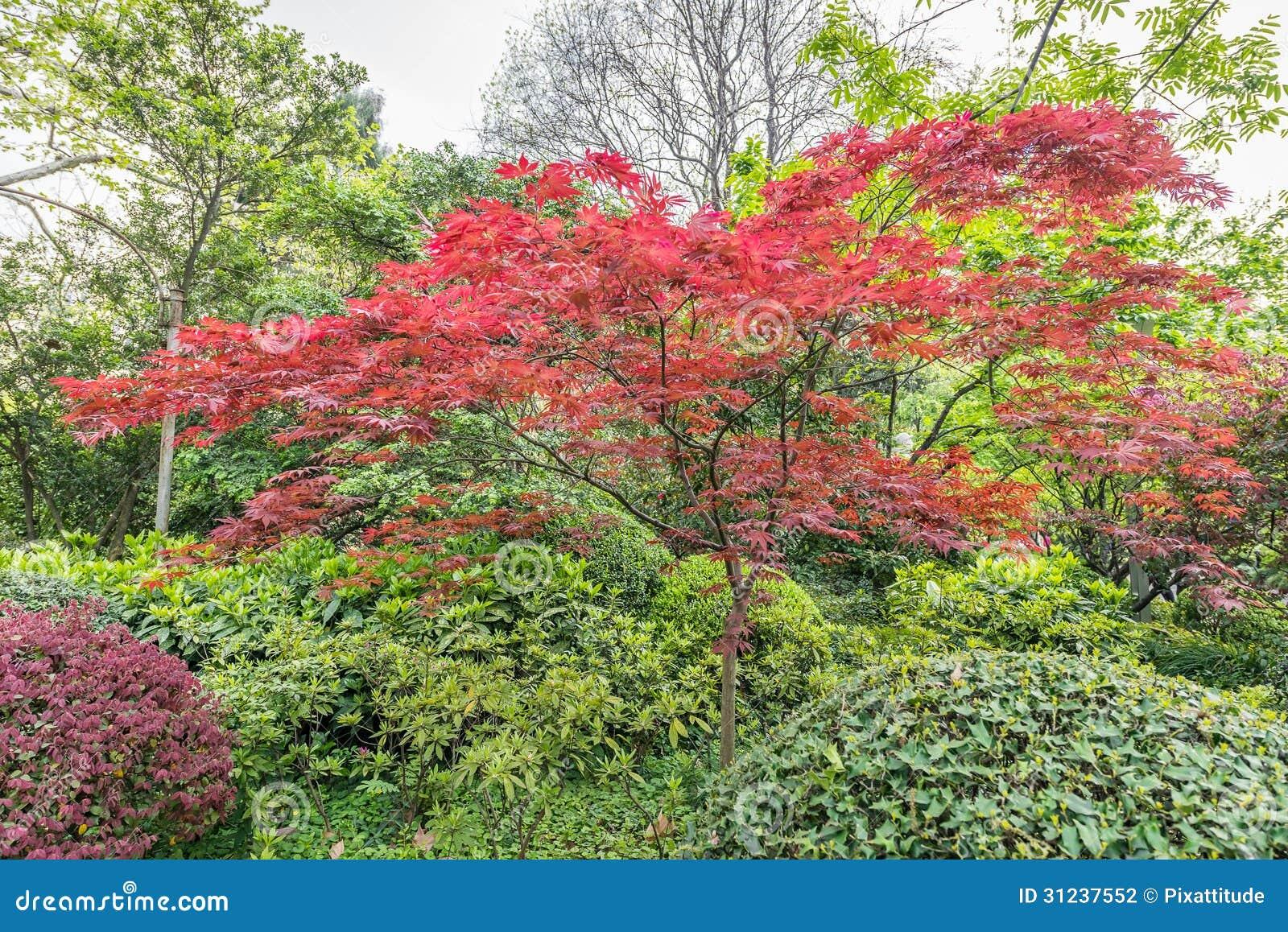 China rojo hojeada de shangai del rbol de los bonsais for Arbol rojo jardin