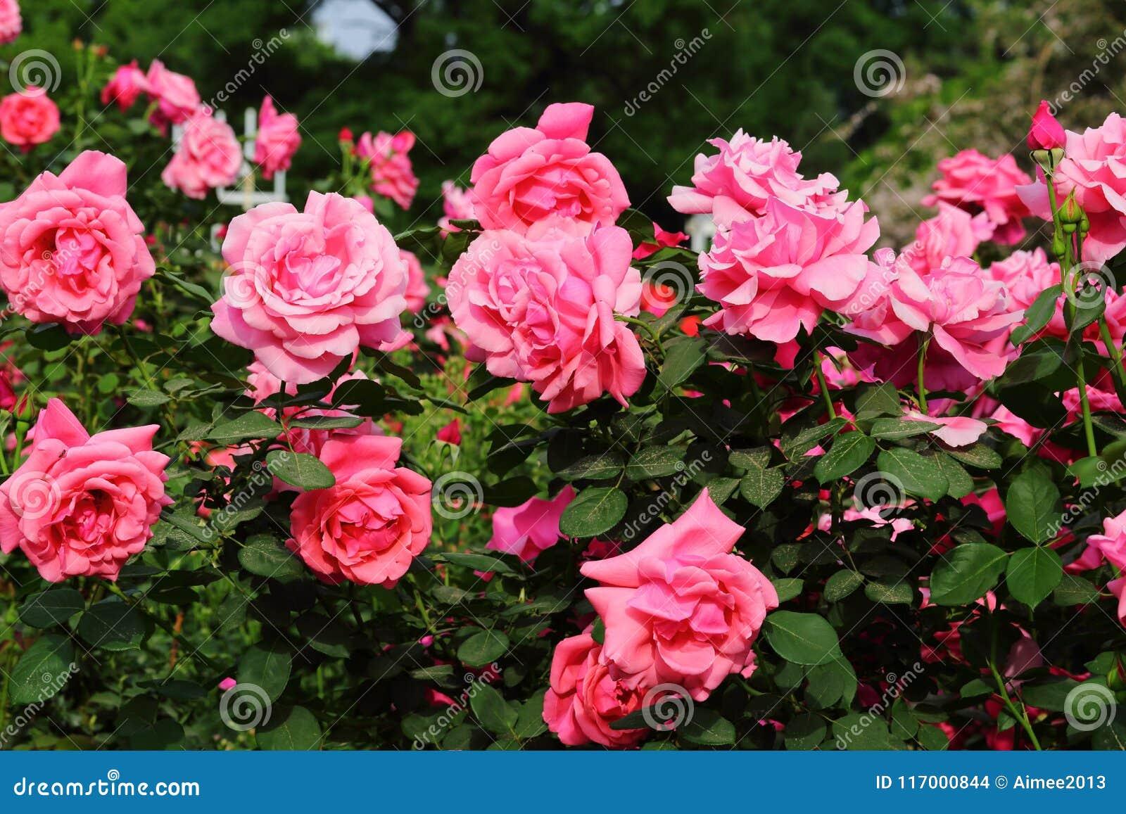 China Rose en jardín