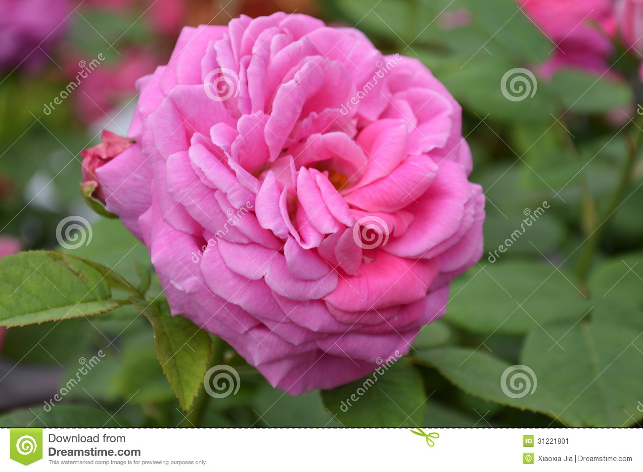 China Rose Flower Stock Image Image 31221801