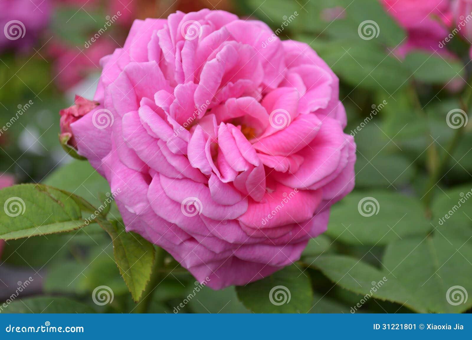 China rose flower stock image image 31221801 - Rosas chinas ...