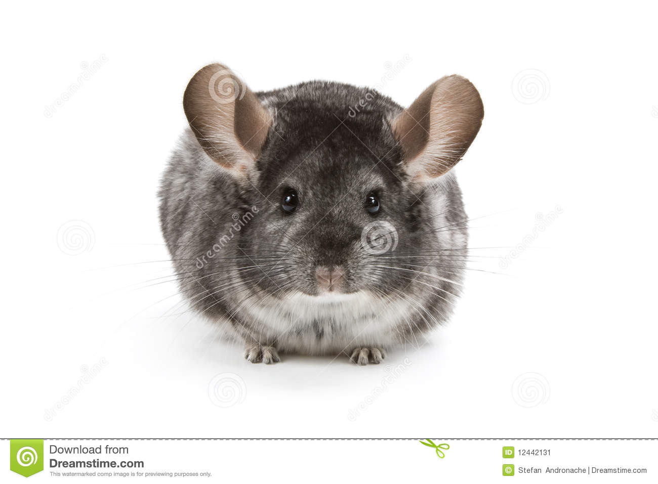 Download Chinchilla stock image. Image of portrait, adorable, lonely - 12442131