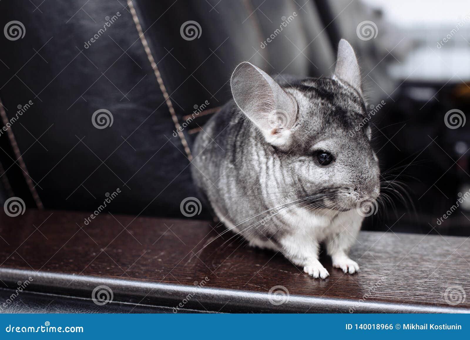 Chinchilla gris que le mira Animal doméstico bonito