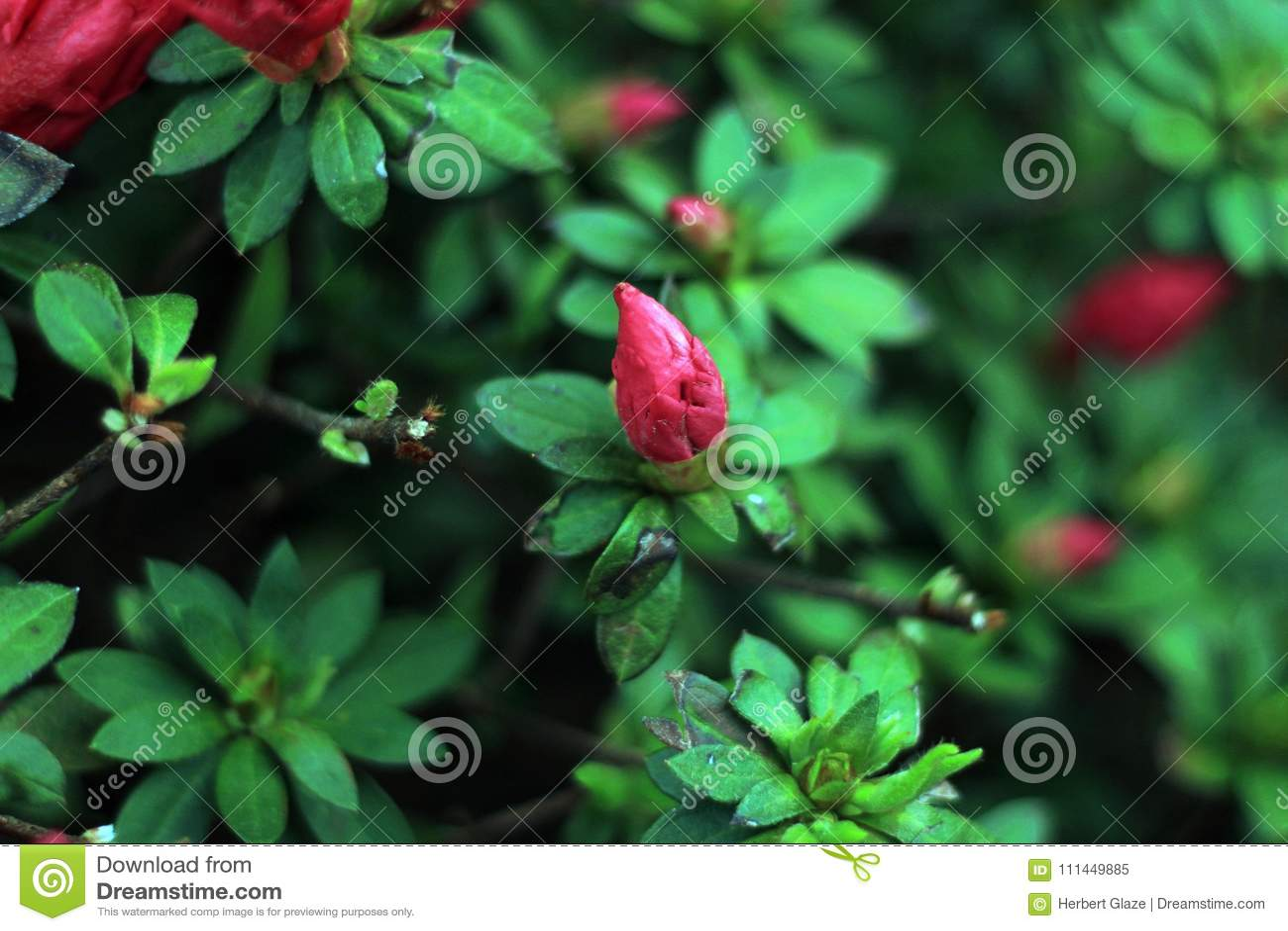 Chinense Loropetalum как китайский кра-цветок