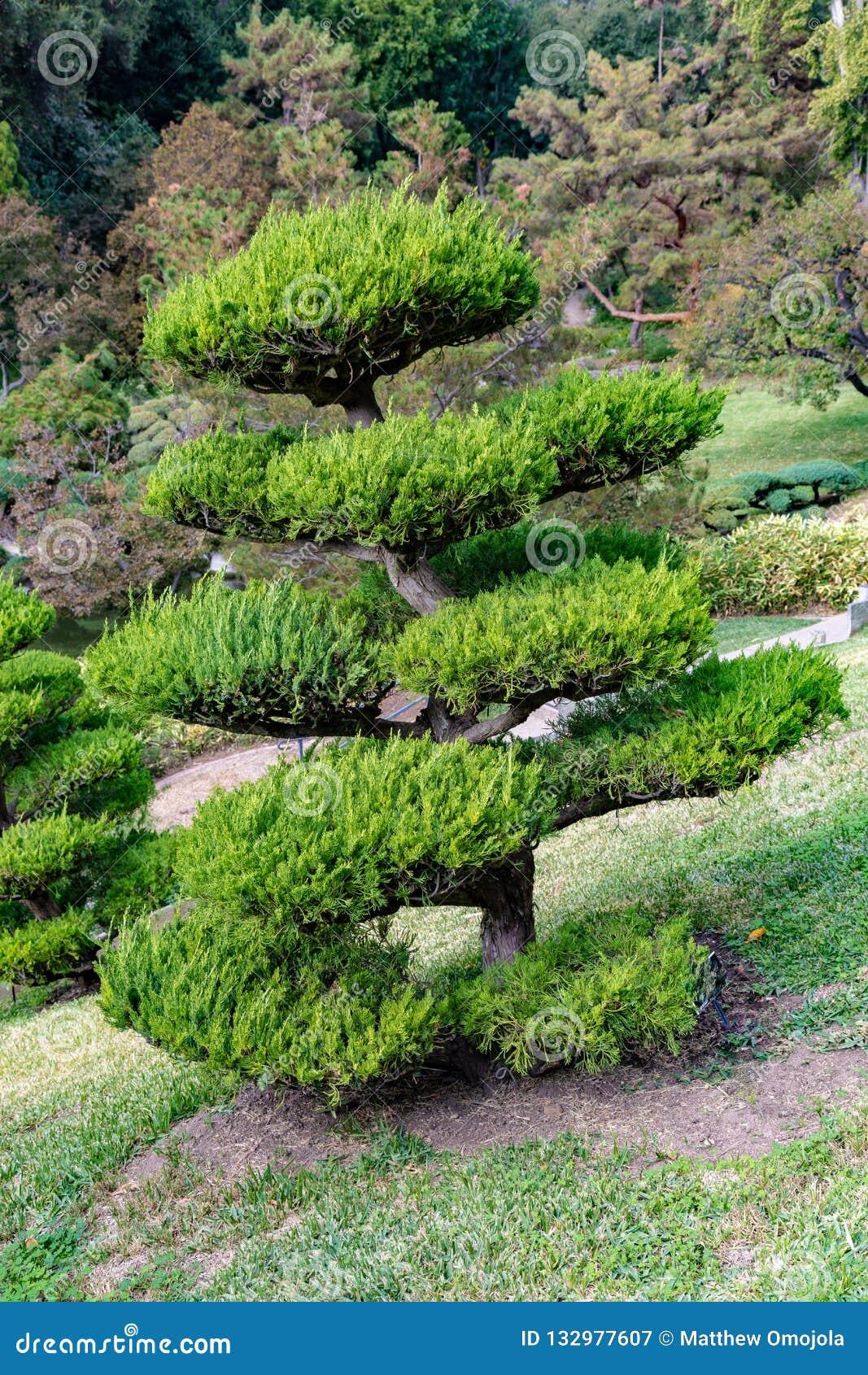 Chinensis växt för för Hollywood en eller Juniperus