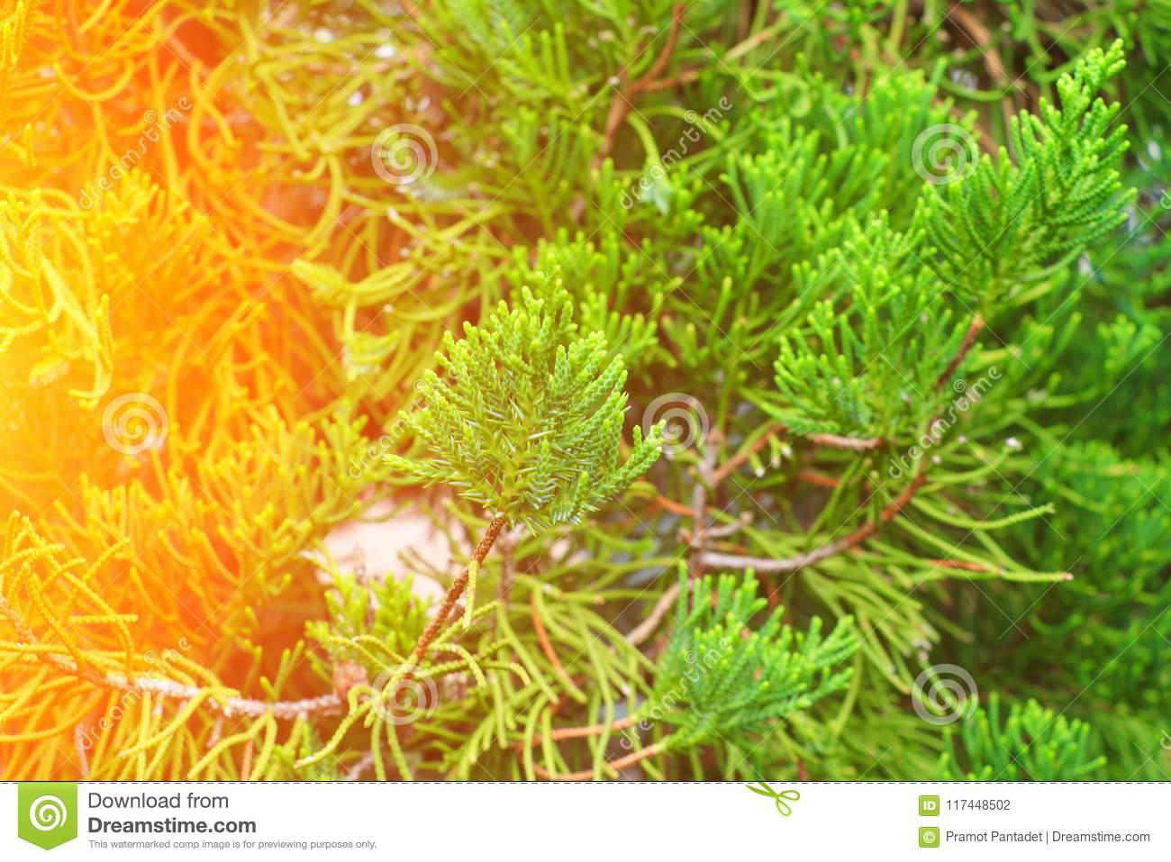 Chinese Arborvitae Leaves Of Pine Tree With Sunset Light Scientific