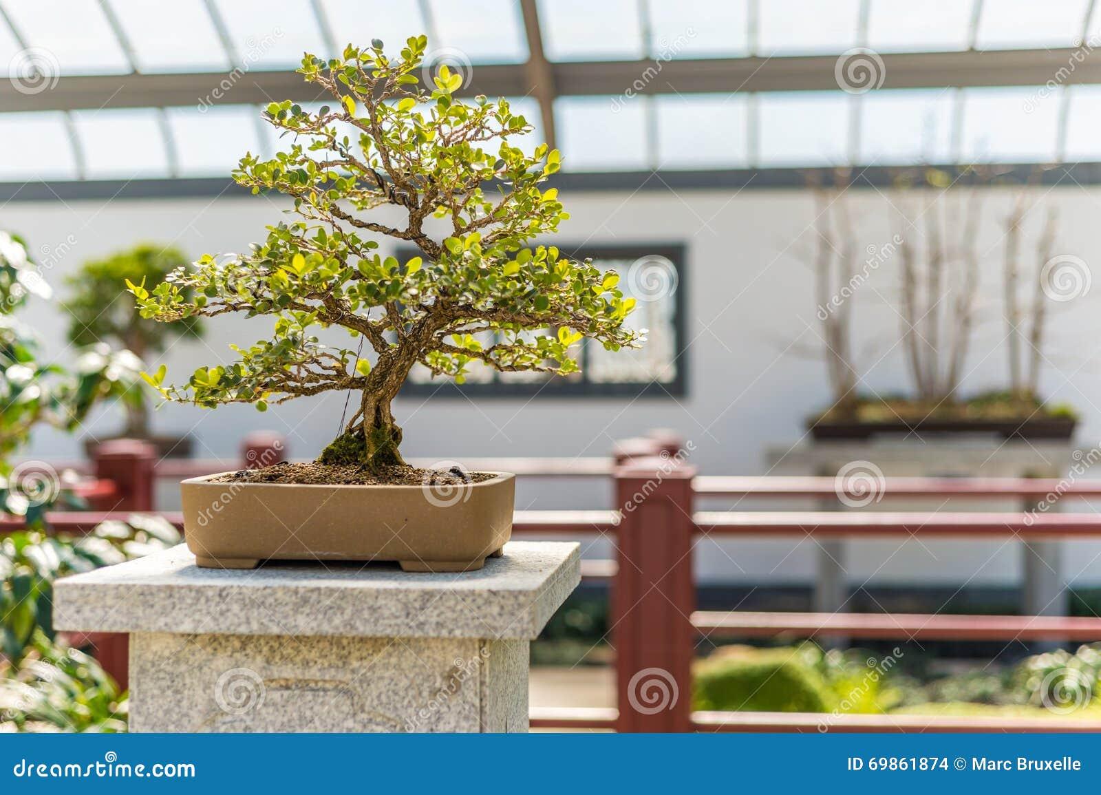 Chinese Buxus Bonsai Pseudotetanus Ifacemodern Site