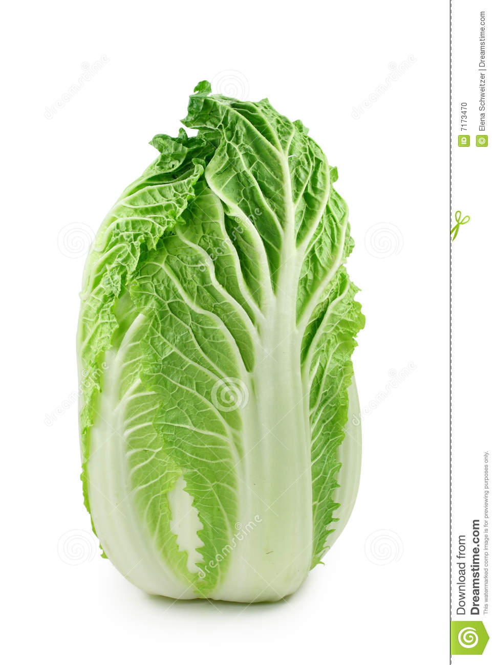 Chinese Cabbage Stock Image | CartoonDealer.com #38313853